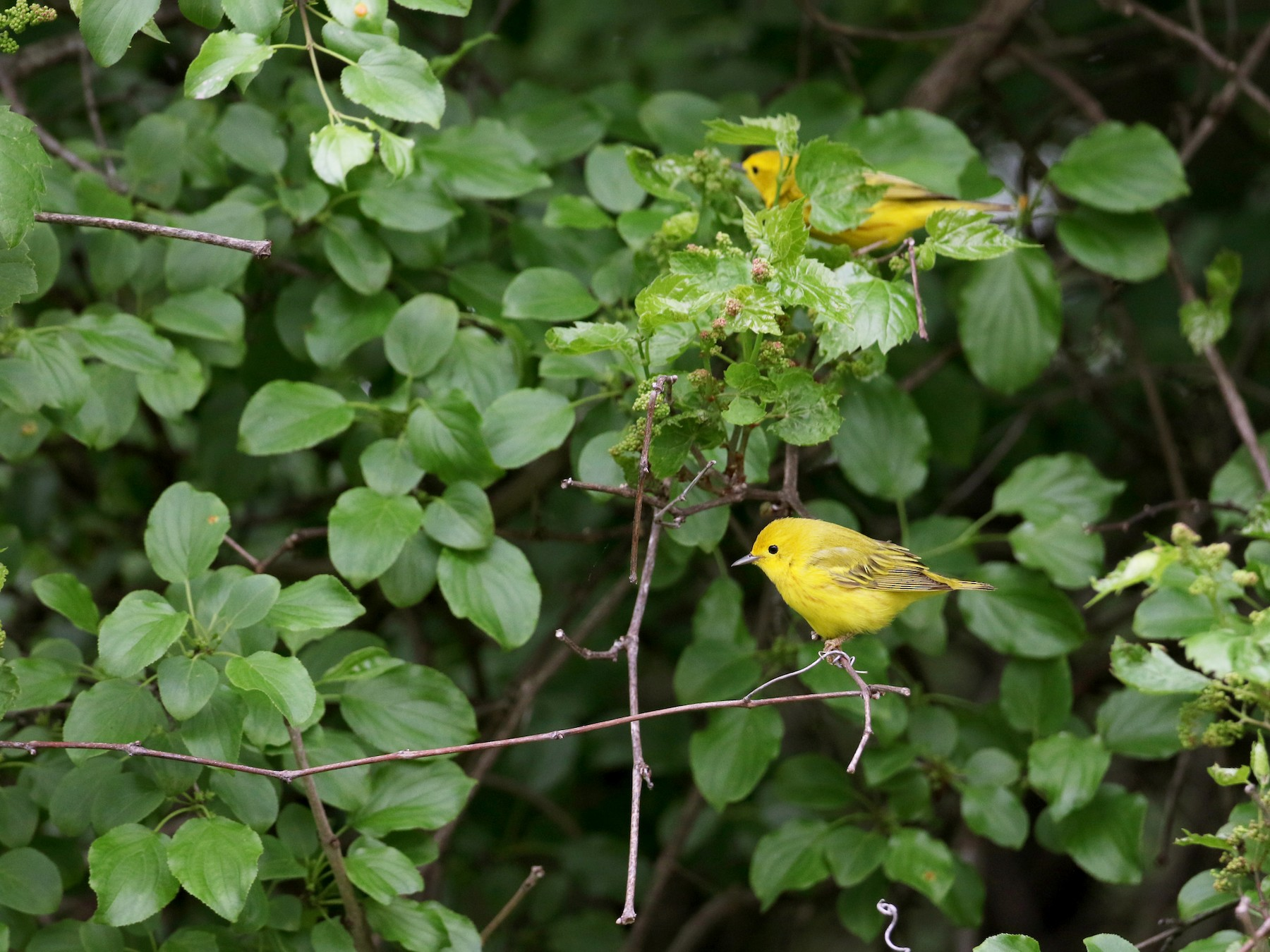 Yellow Warbler - Jay McGowan