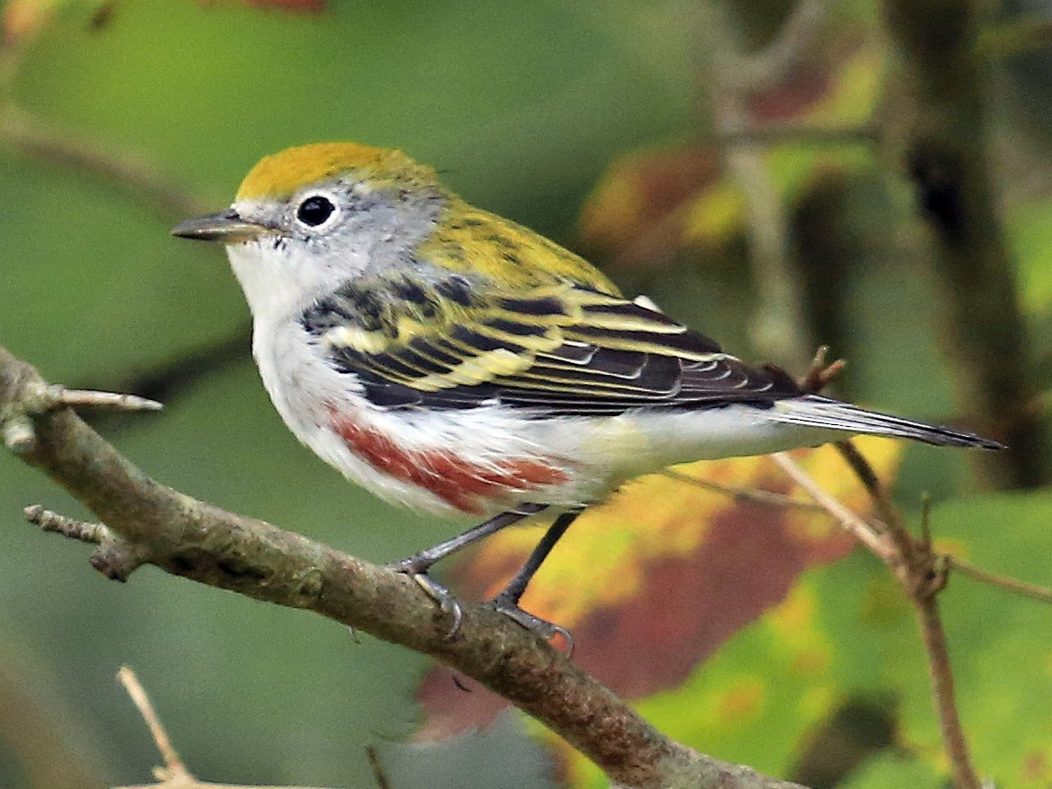 Chestnut-sided Warbler - Tim Lenz
