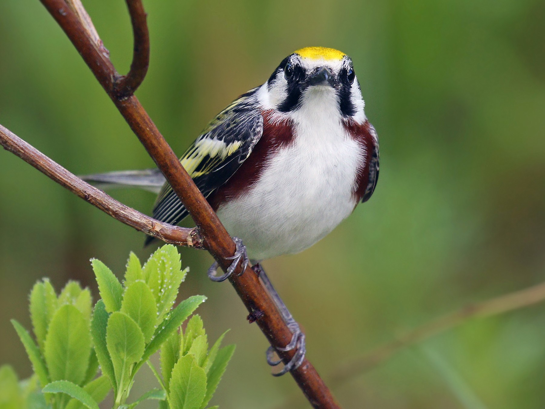 Chestnut-sided Warbler - Ryan Schain