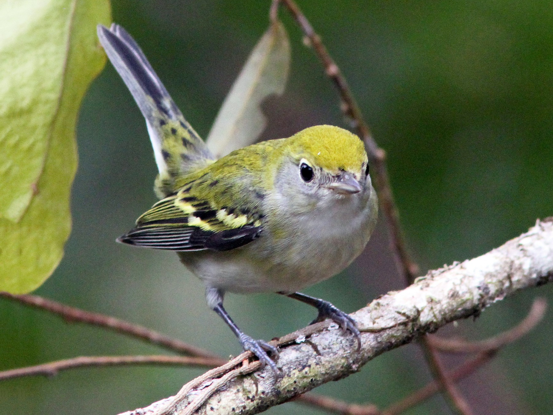 Chestnut-sided Warbler - Larry Therrien