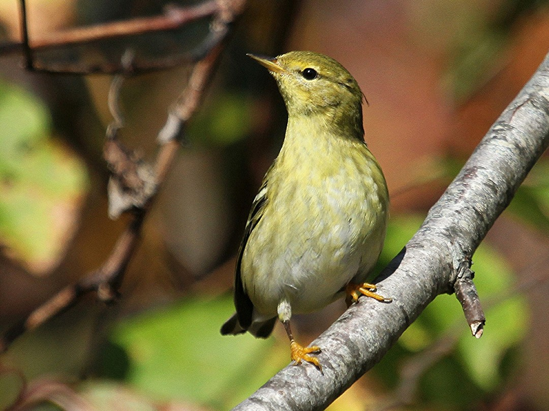 Blackpoll Warbler - Mary Keleher