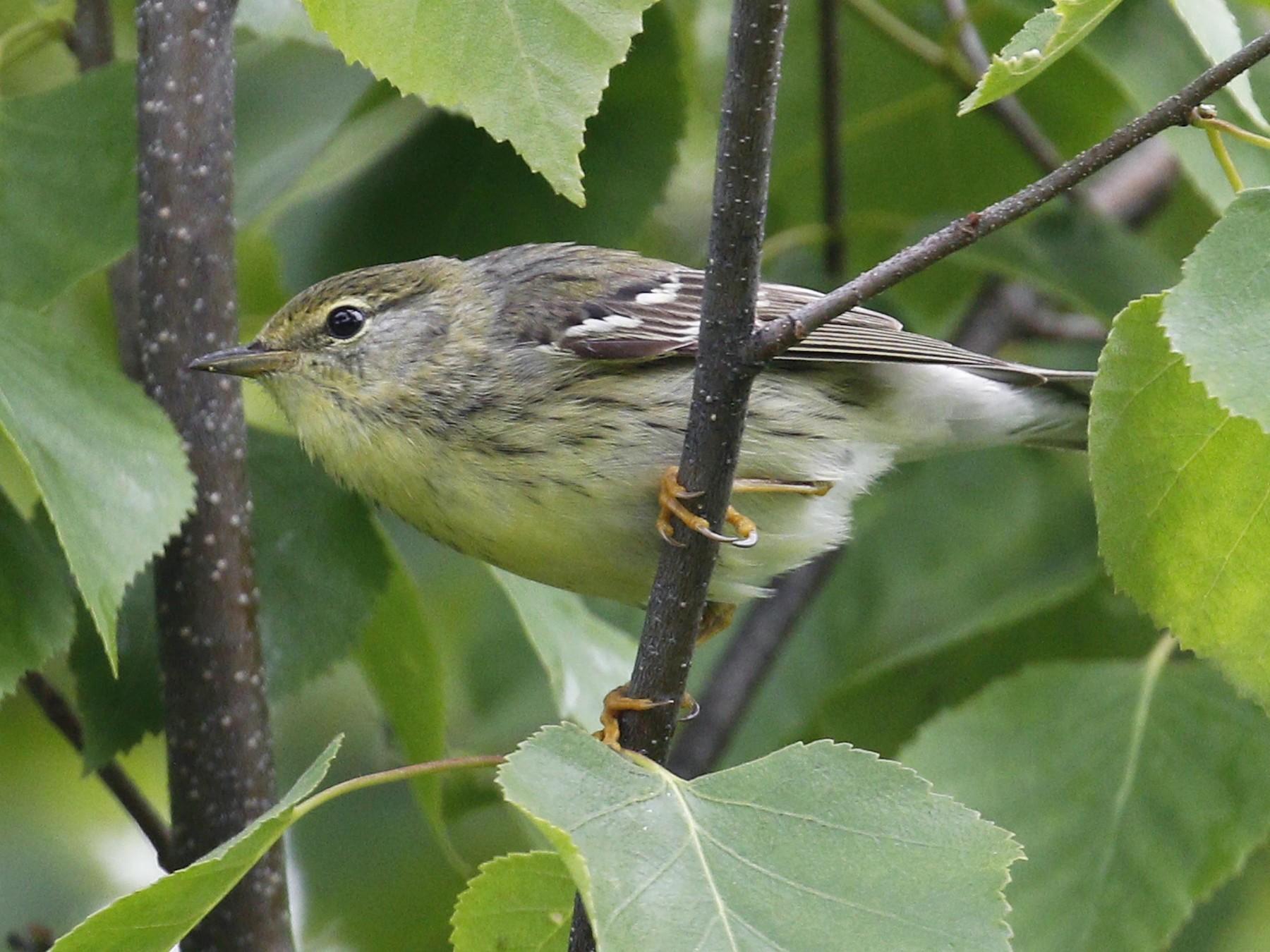Blackpoll Warbler - Donna Pomeroy