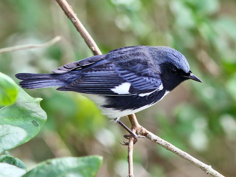 Black-throated Blue Warbler - Michael O'Brien