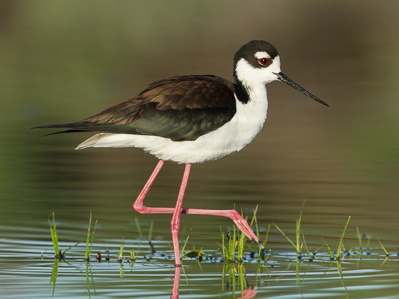 Black-necked Stilt - Dorian Anderson