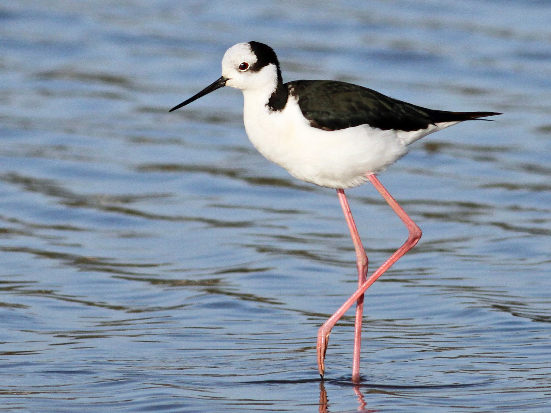 Black-necked Stilt - Luke Seitz