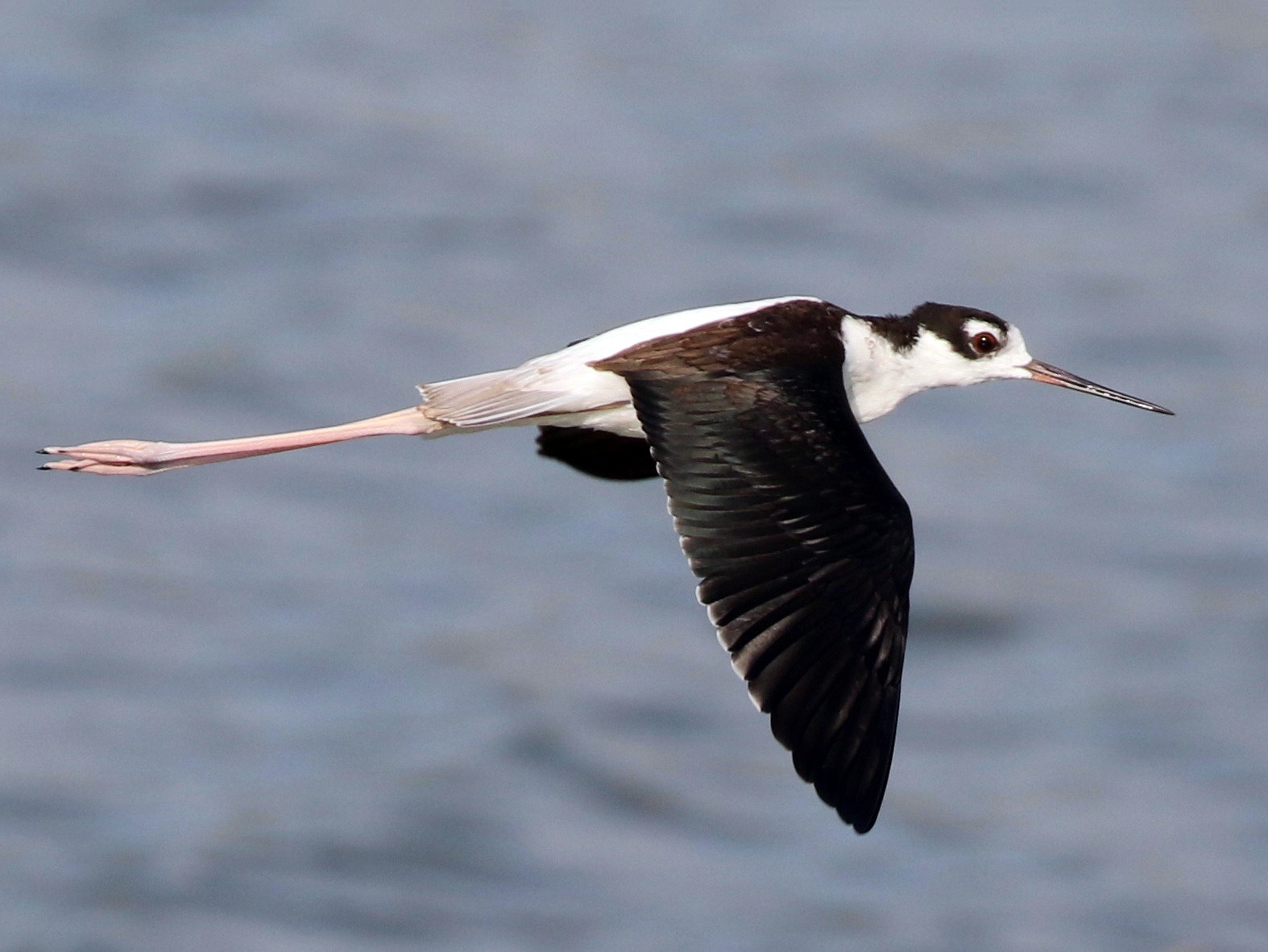 Black-necked Stilt - Christian Fernandez