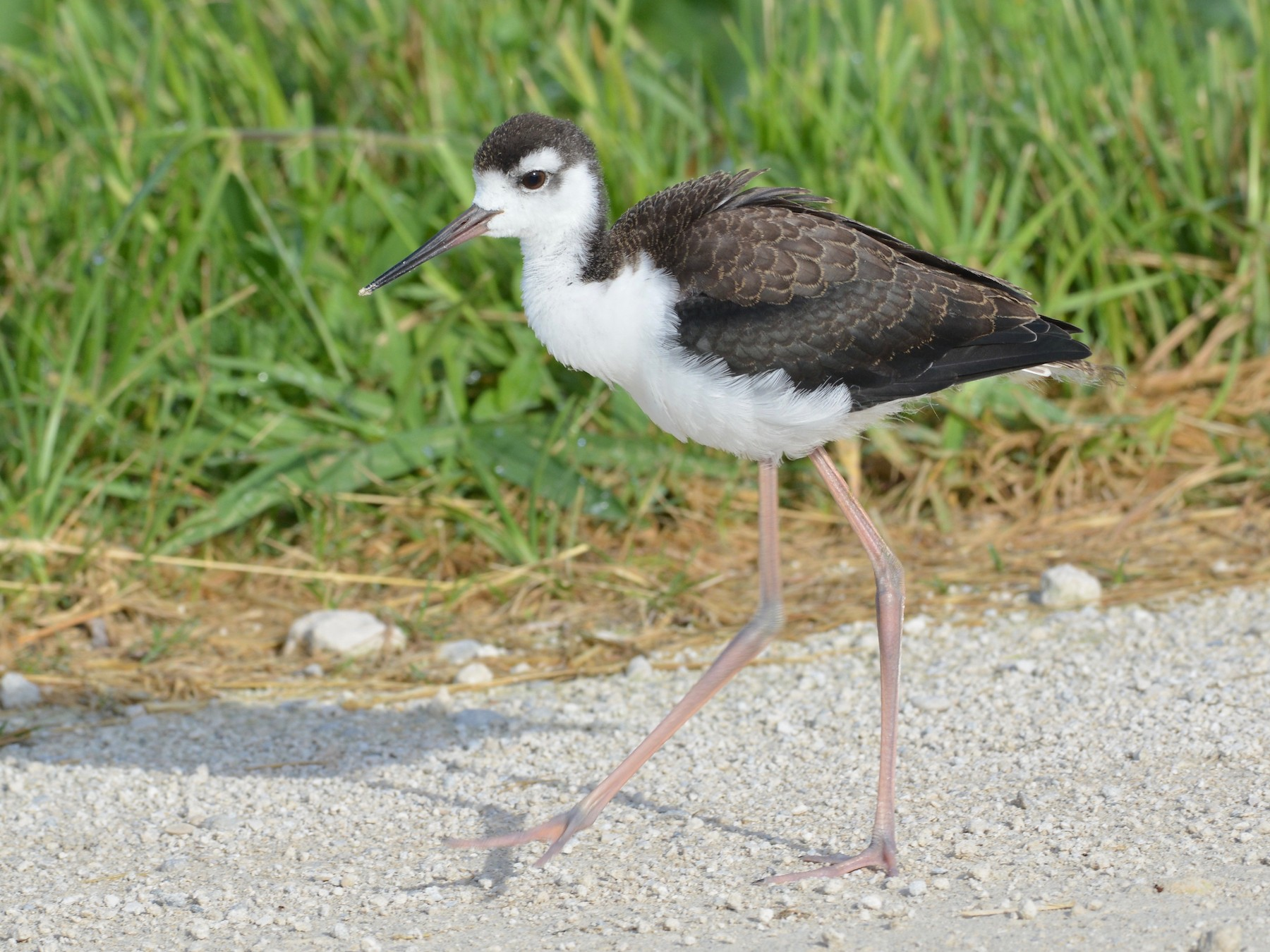 Black-necked Stilt - Kevin Dailey