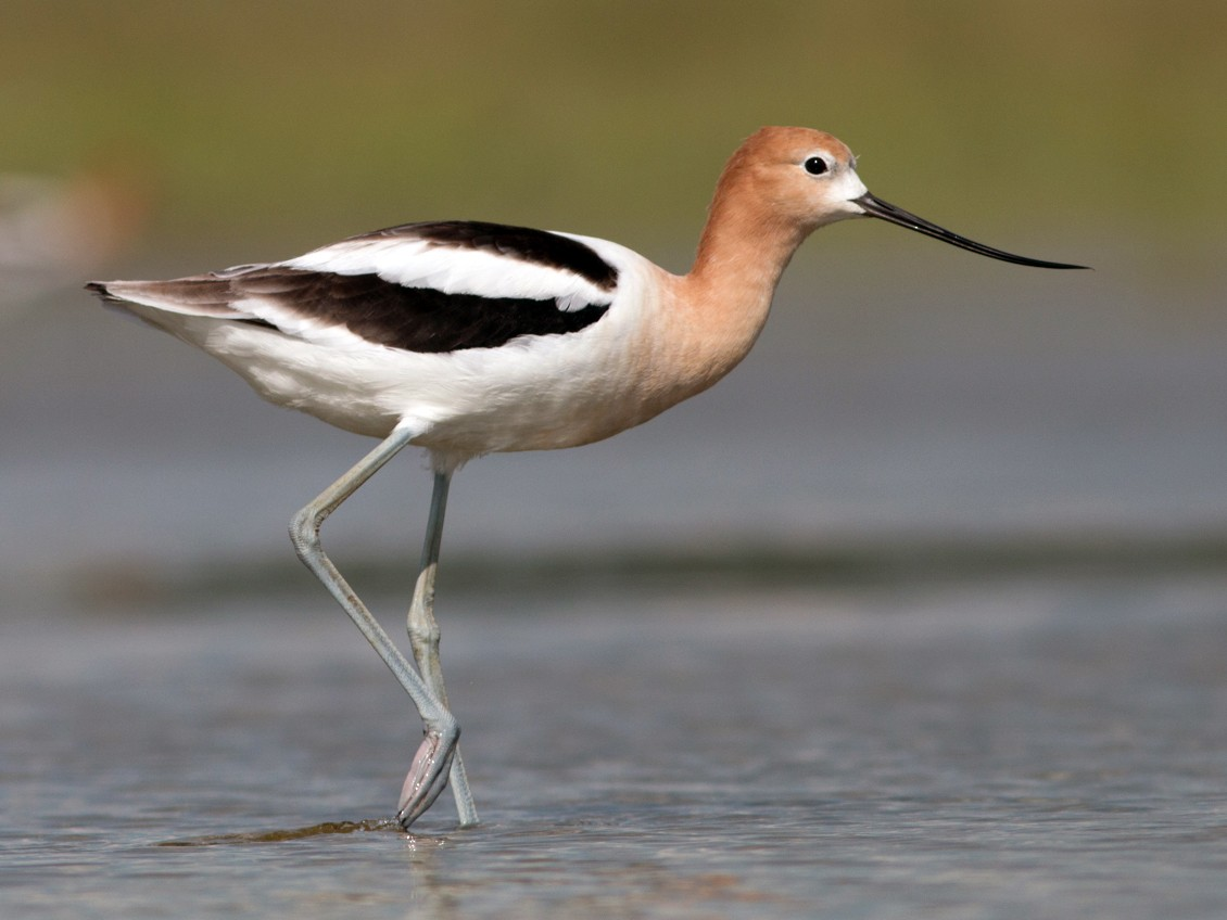 American Avocet - Joel Strong