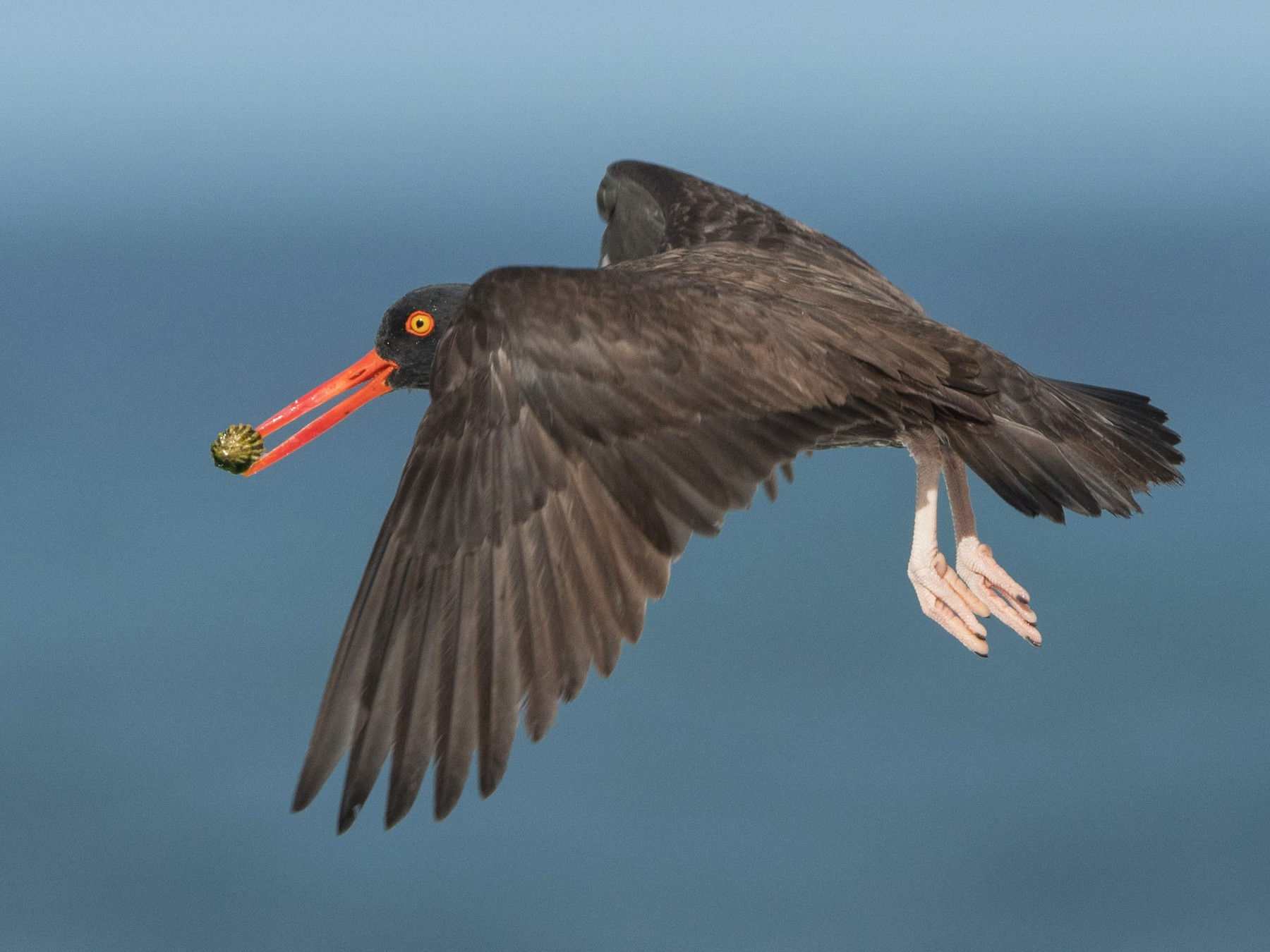 Black Oystercatcher - William Higgins