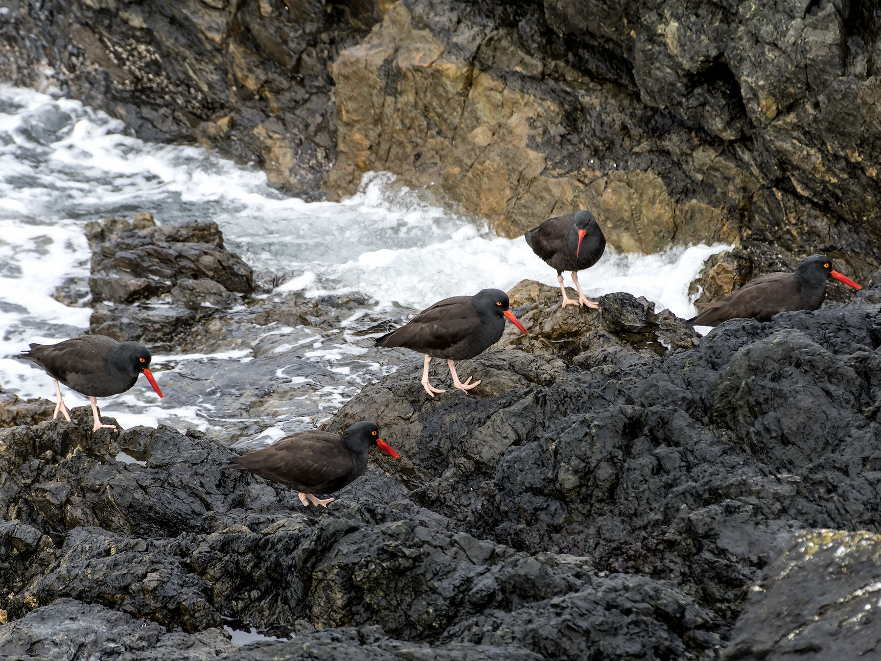 Black Oystercatcher - David Badke