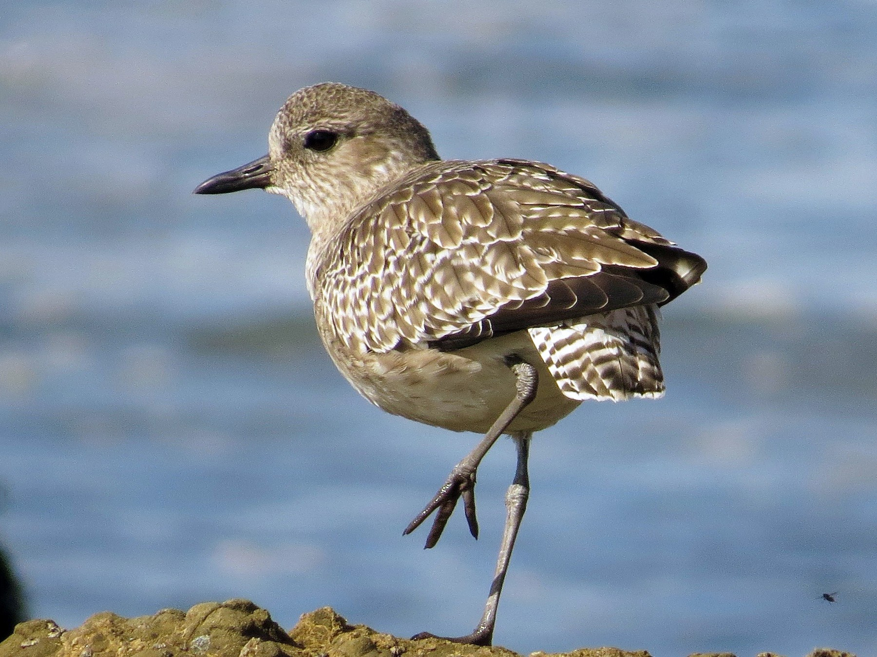 Black-bellied Plover - Petra Clayton