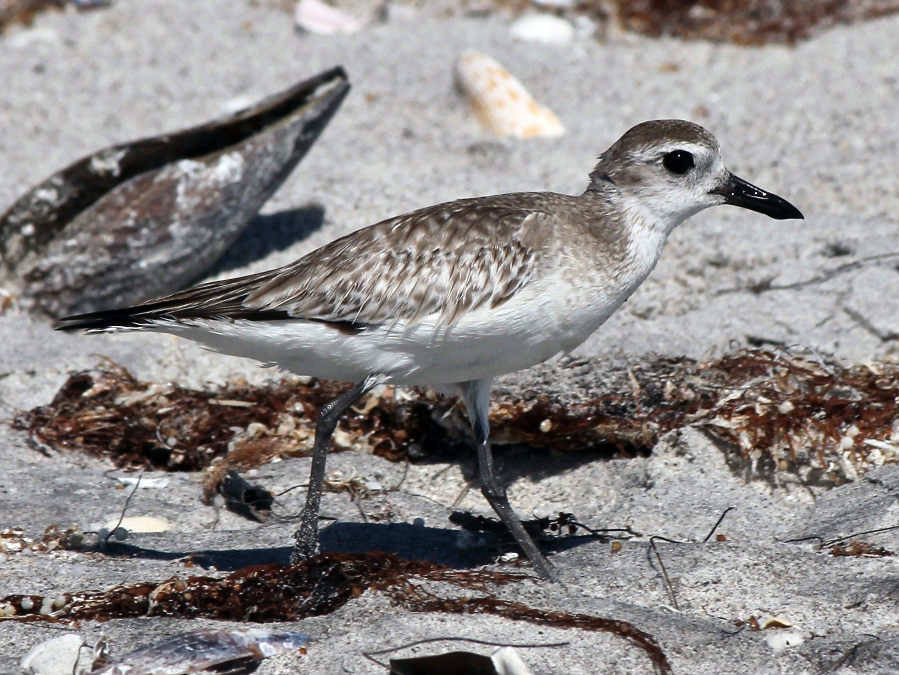 Black-bellied Plover - Michael Warner