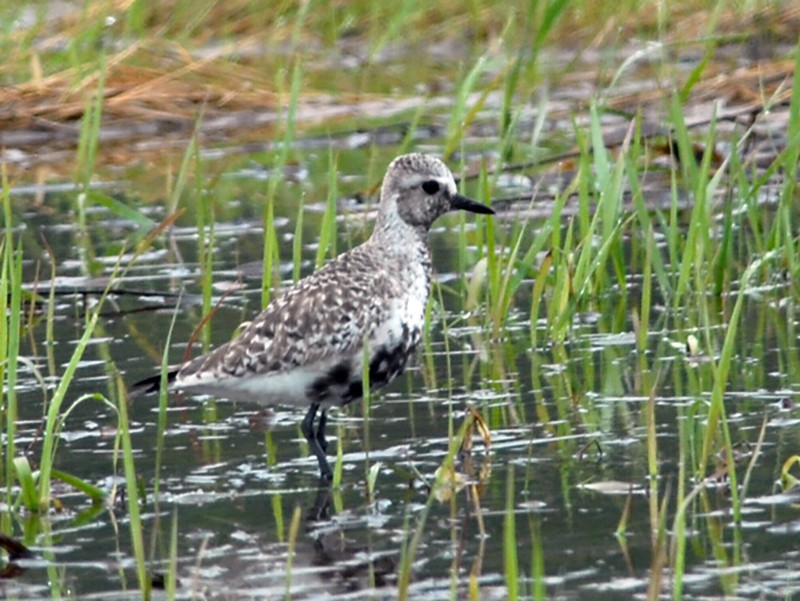 Black-bellied Plover - Cameron Eckert