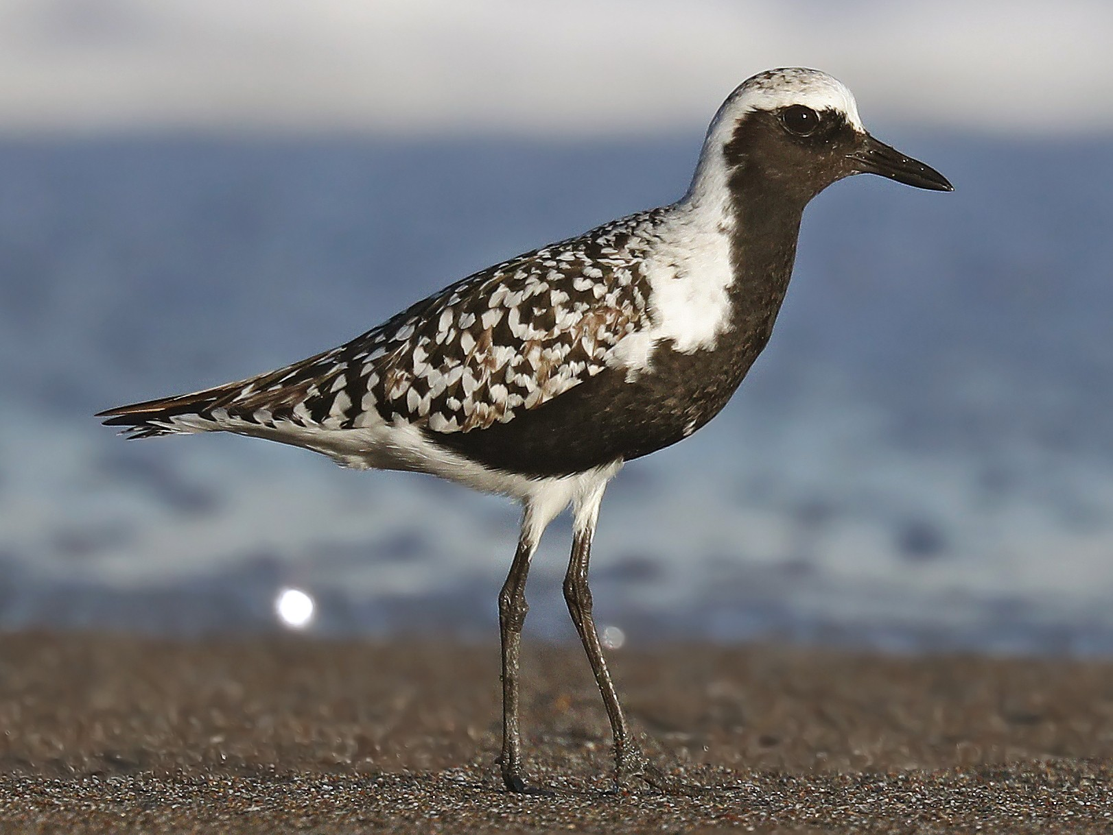 Black-bellied Plover - Matt Davis