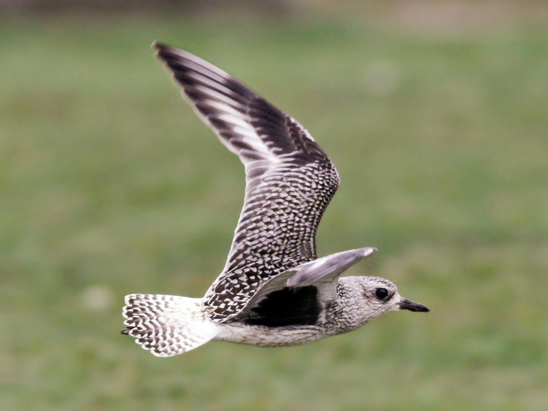 Black-bellied Plover - Davey Walters