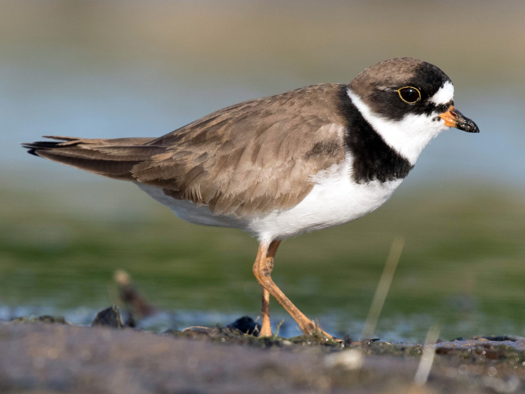 Semipalmated Plover - Ross Gallardy