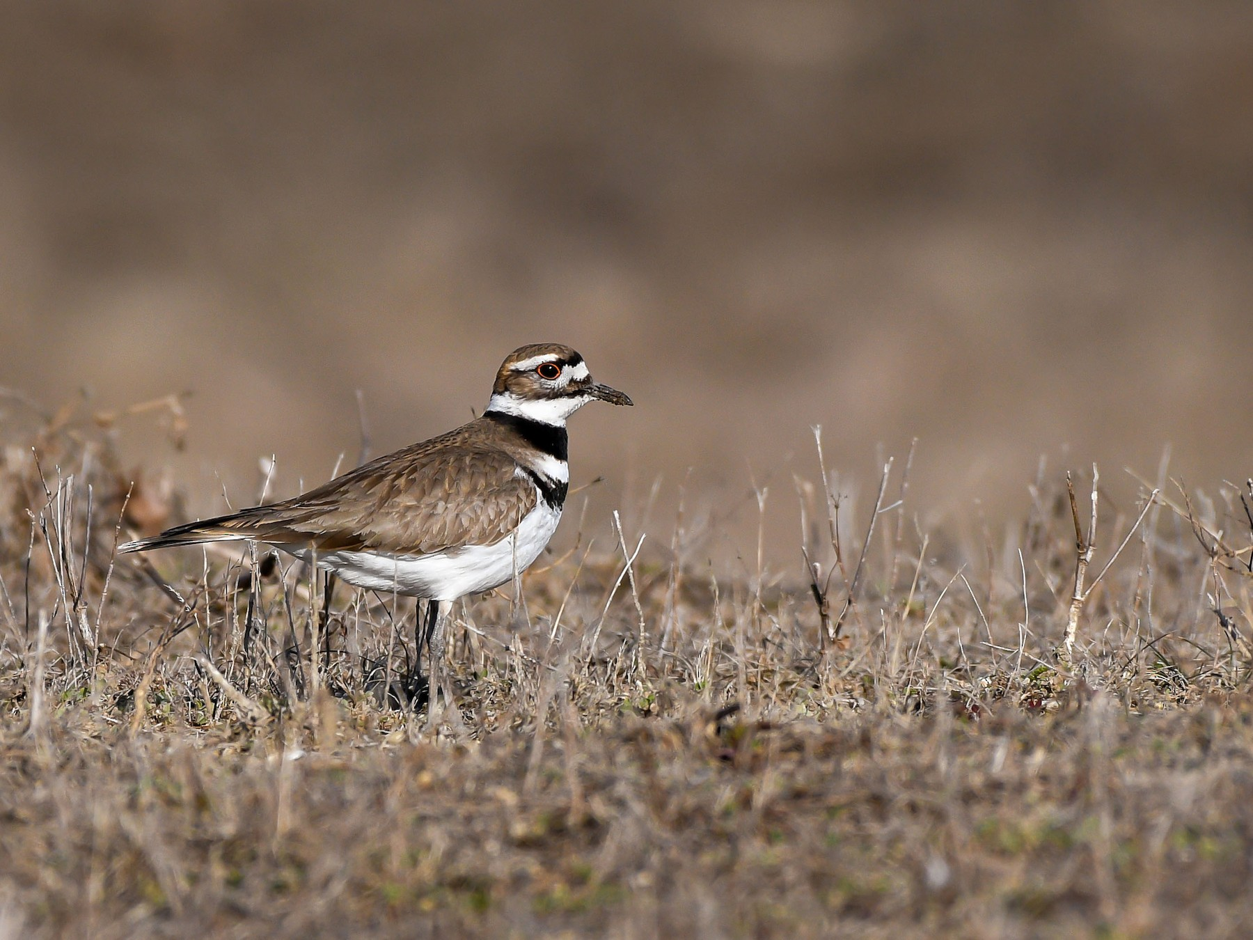 Killdeer - Charles Shields