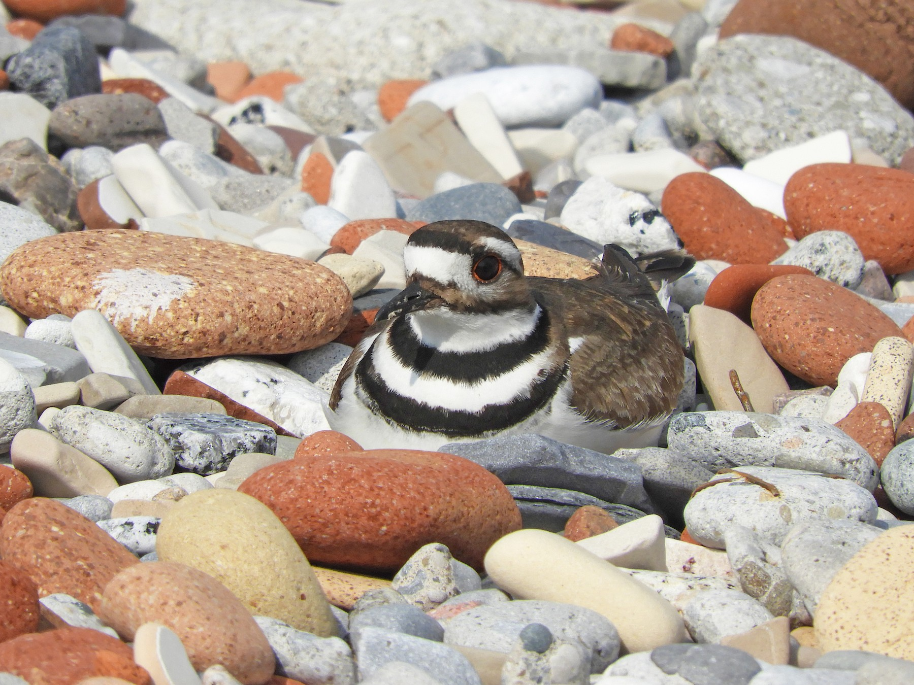 Killdeer - Kai Sheffield