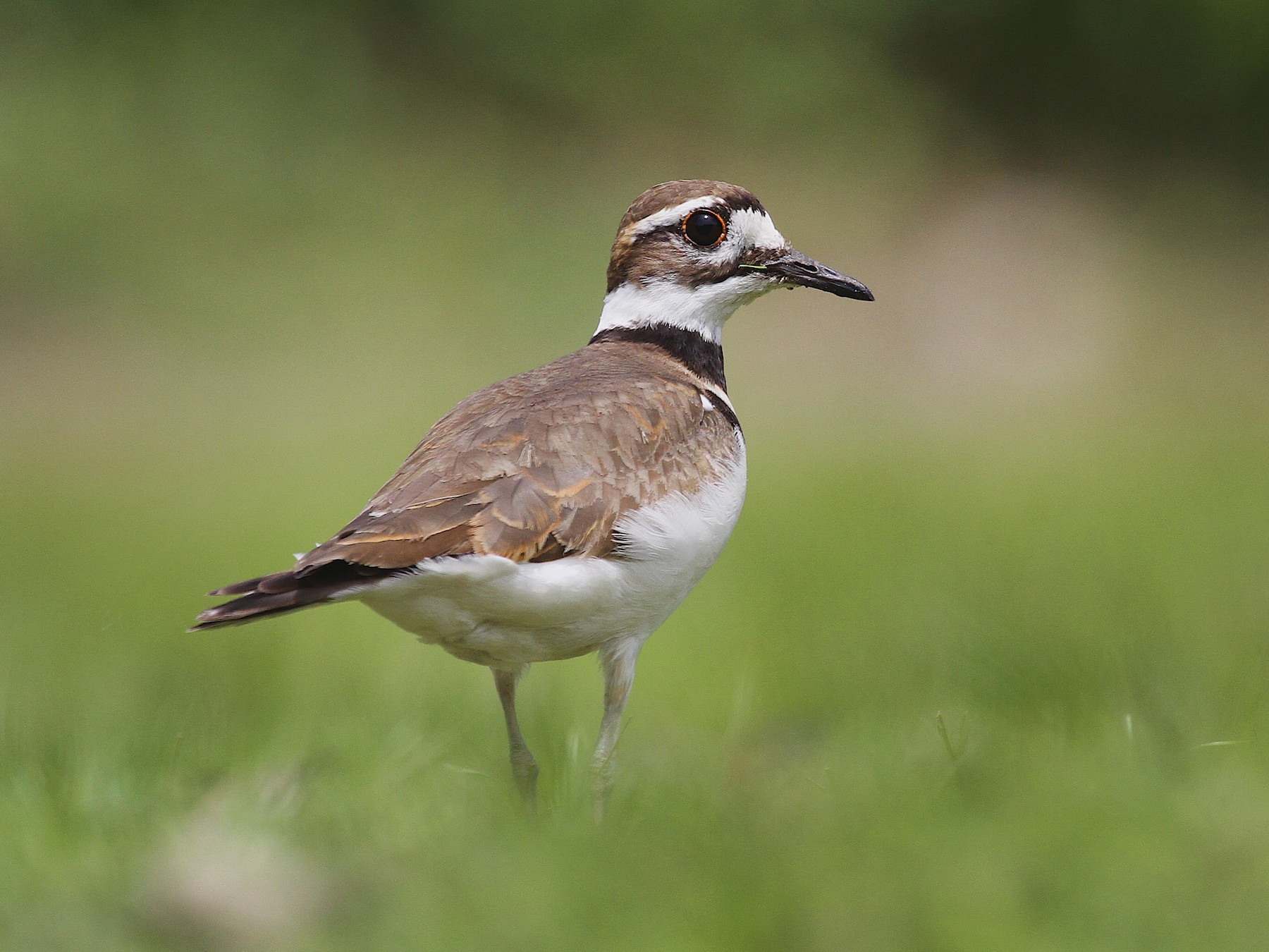 Killdeer - Ryan Schain