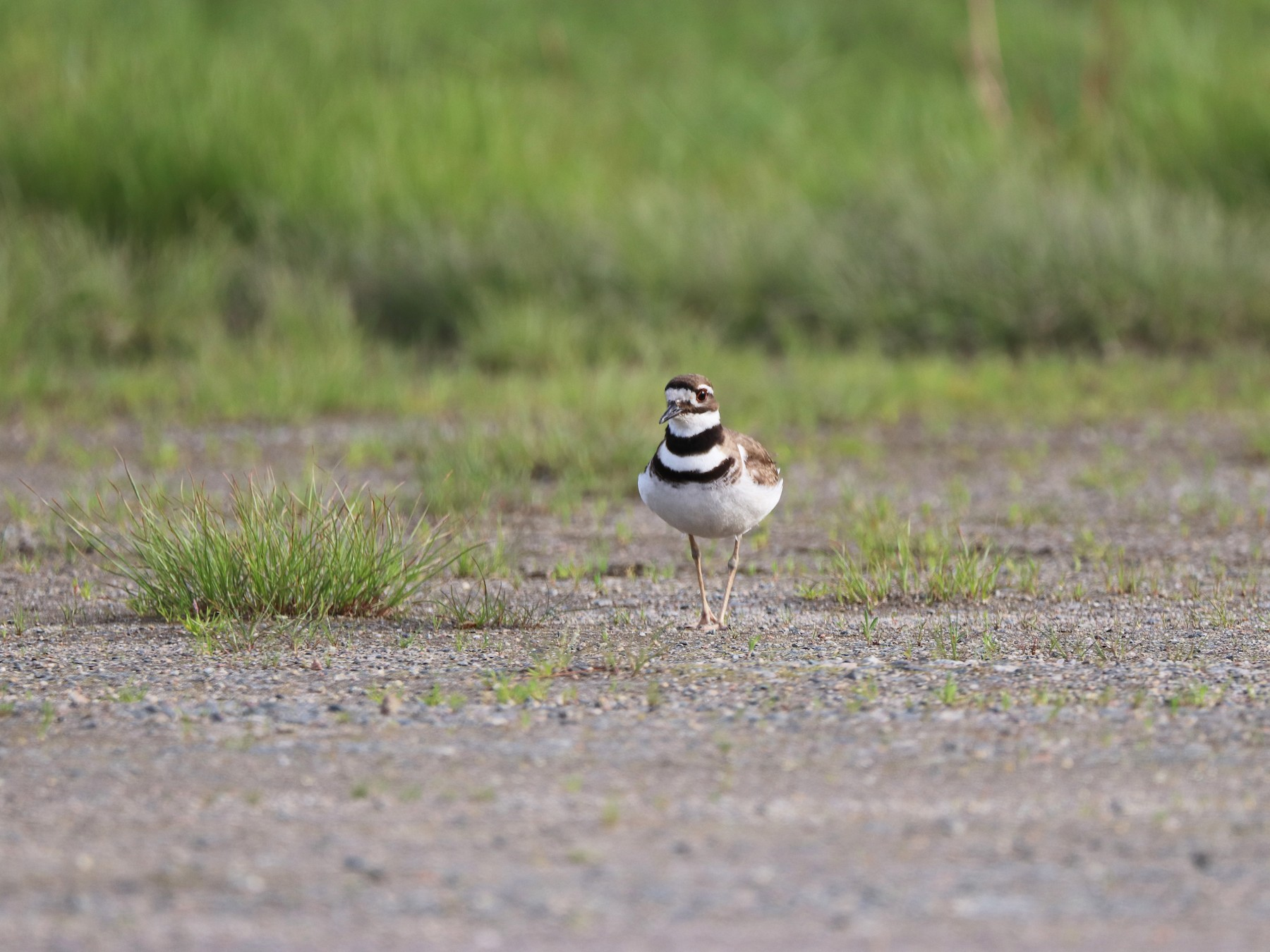 Killdeer - Scott Glosserman