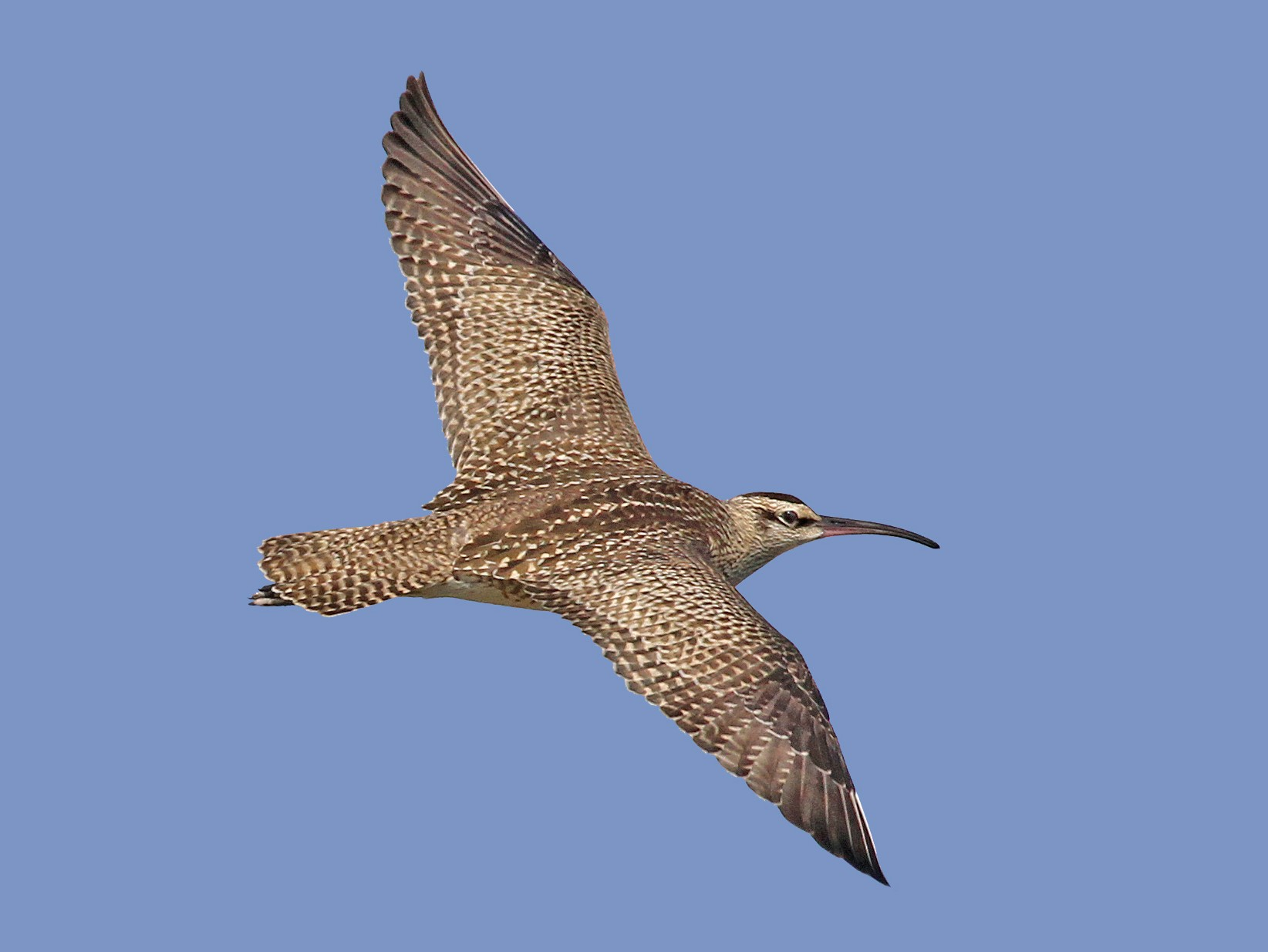 Whimbrel - Ryan Schain