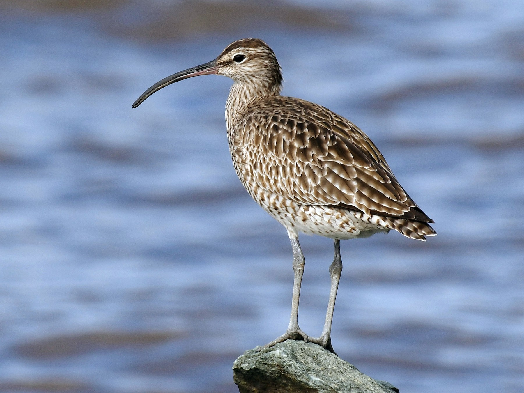 Whimbrel - Terence Alexander