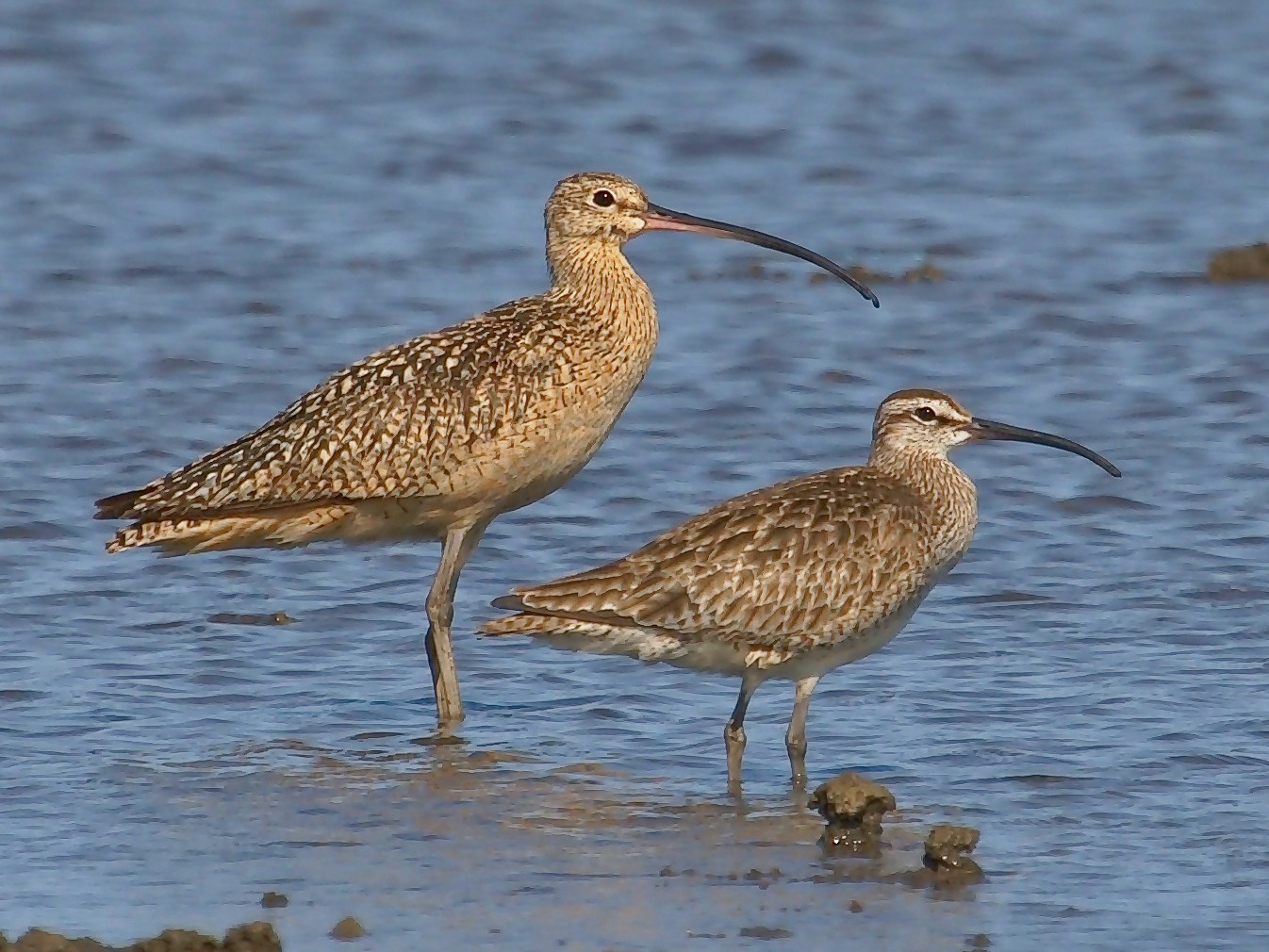 Whimbrel - DigiBirdTrek CA