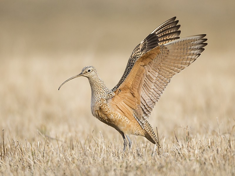 Long-billed Curlew - Jeff Dyck