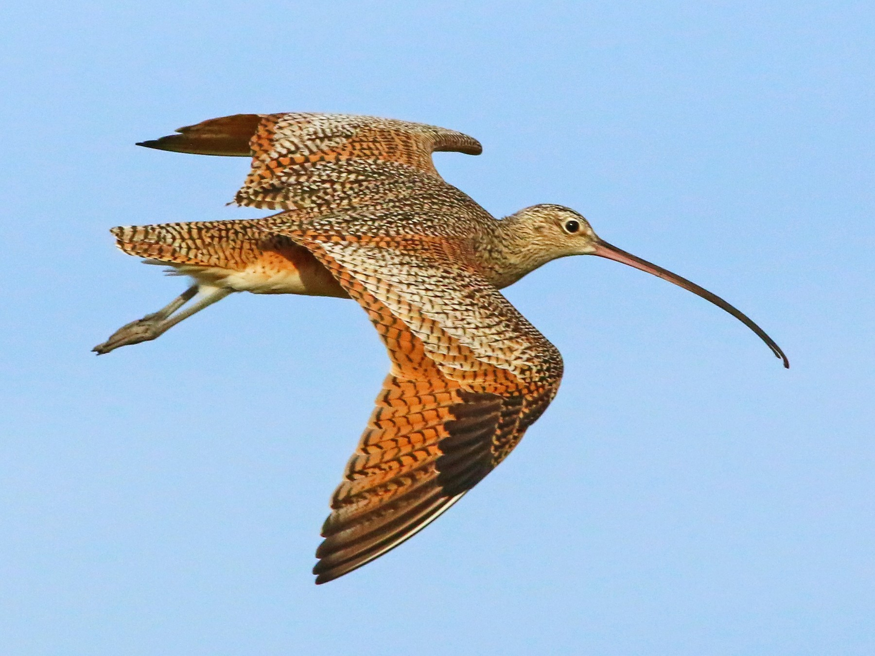 Long-billed Curlew - Chris McCreedy - no playbacks