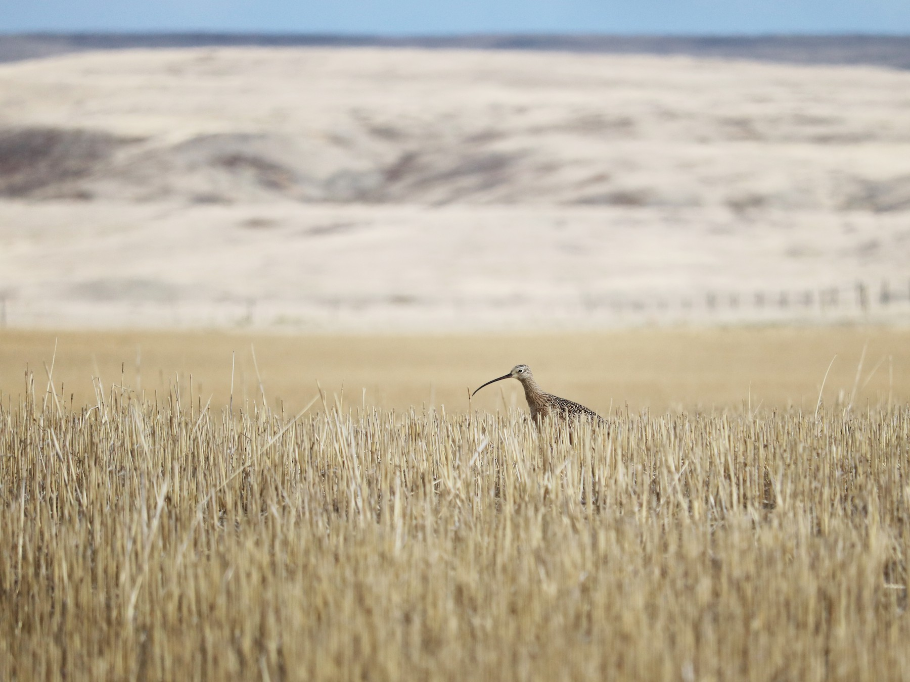 Long-billed Curlew - Katelyn Luff