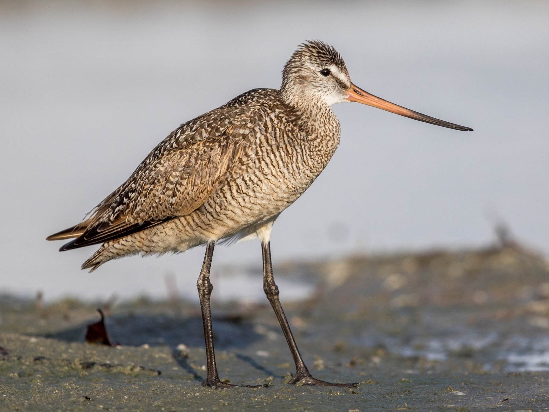 Marbled Godwit - Jeff Timmons