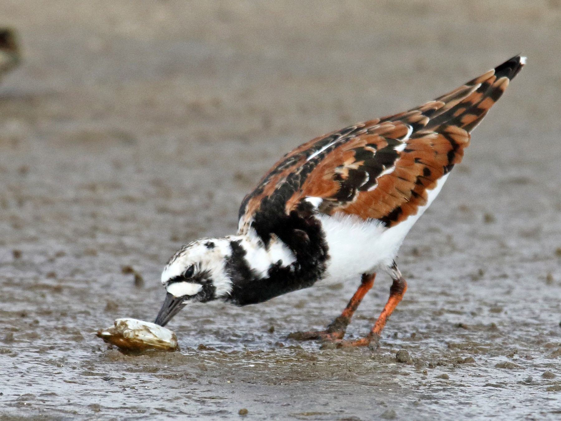 Ruddy Turnstone - Laure Wilson Neish