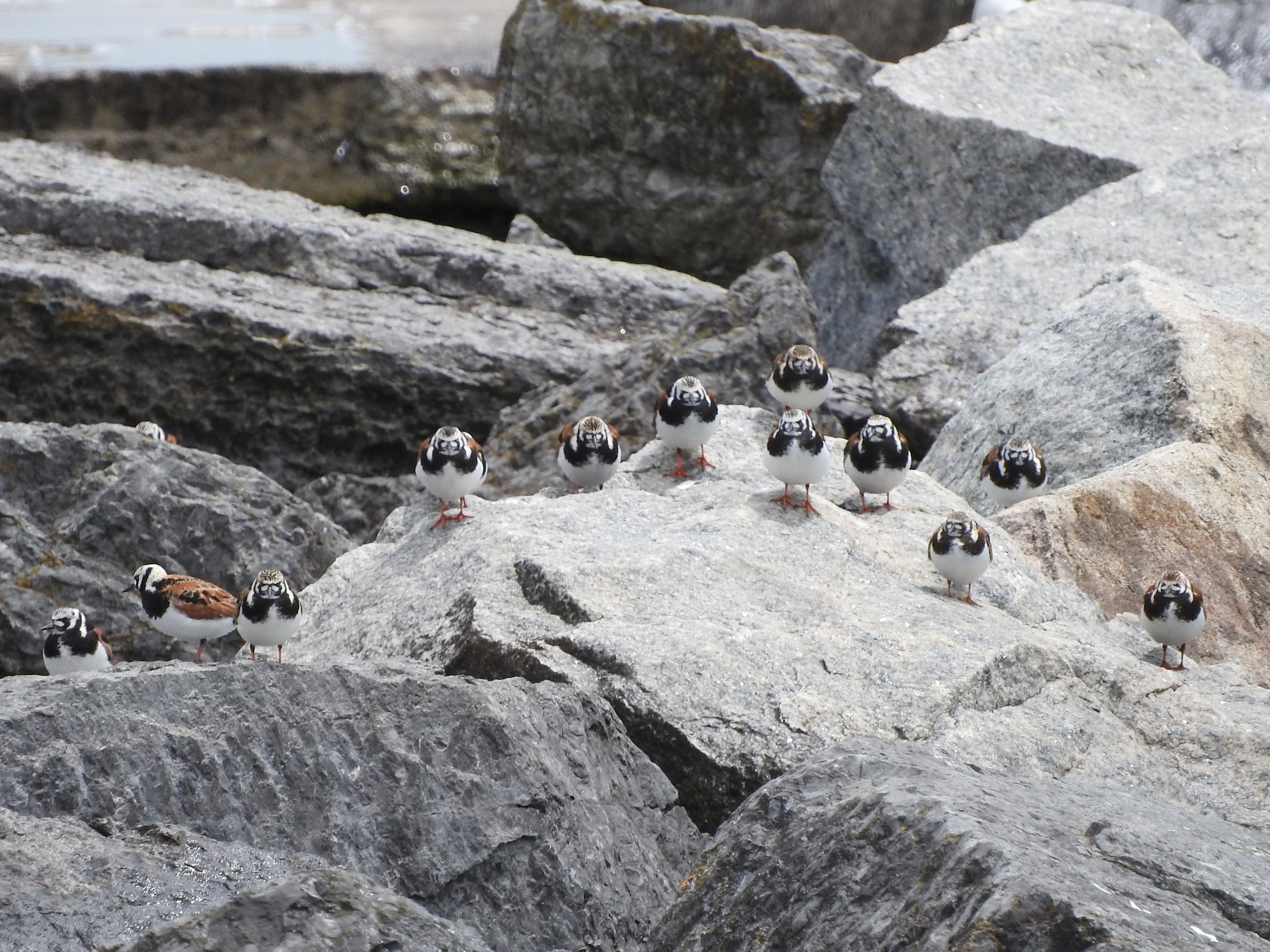 Ruddy Turnstone - Scott Gibson