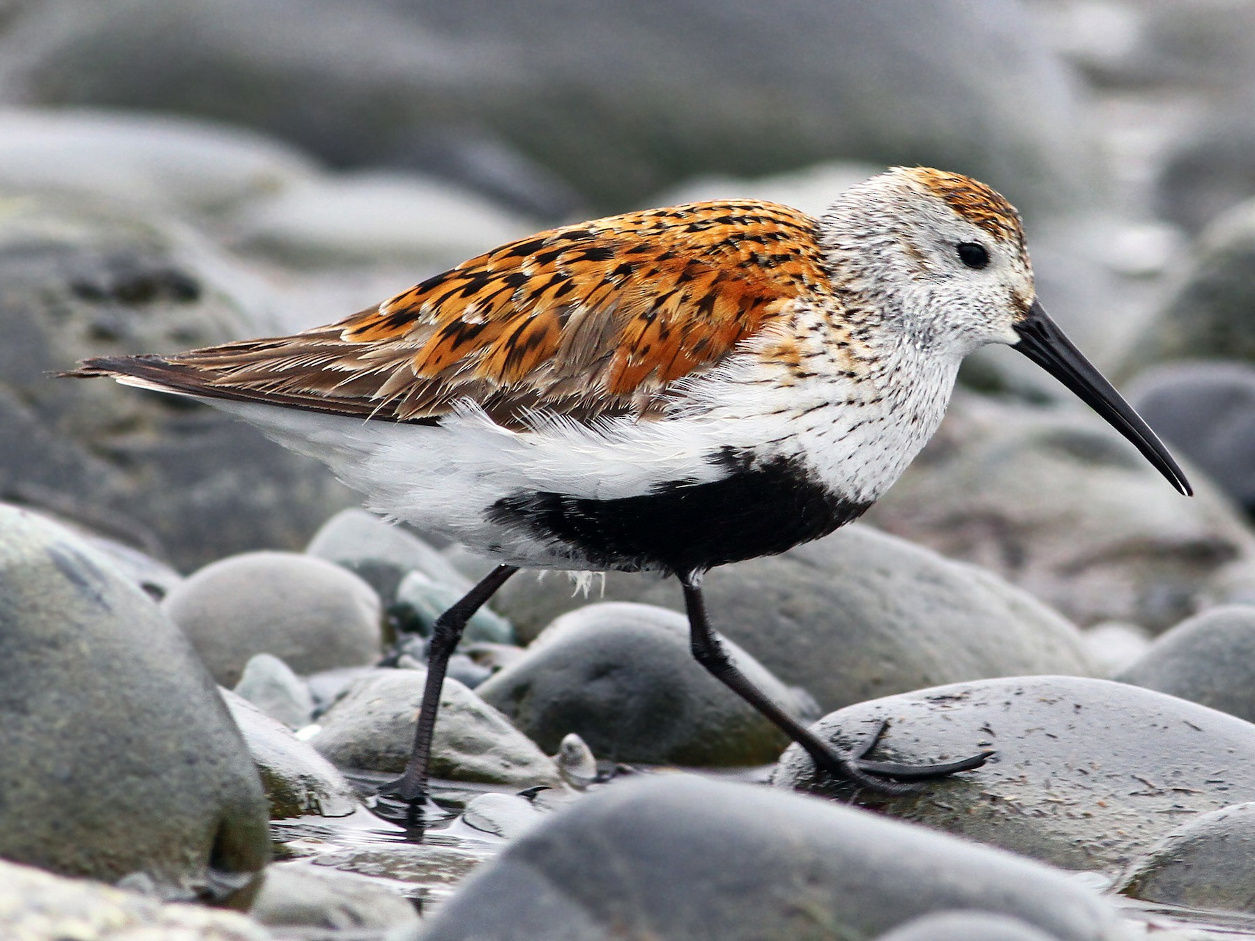 Dunlin - Andrew Spencer
