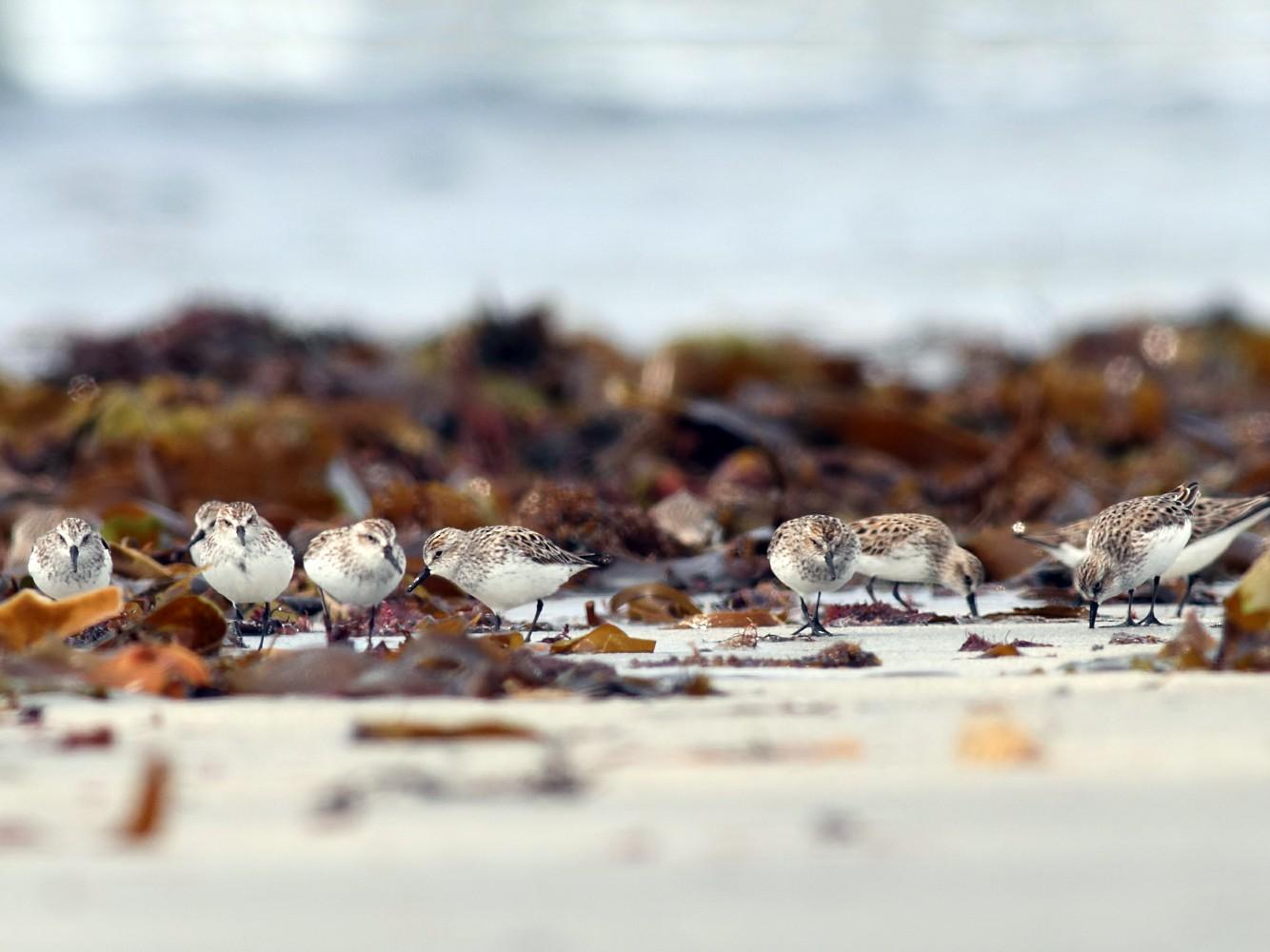 Semipalmated Sandpiper - Kevin Lantz