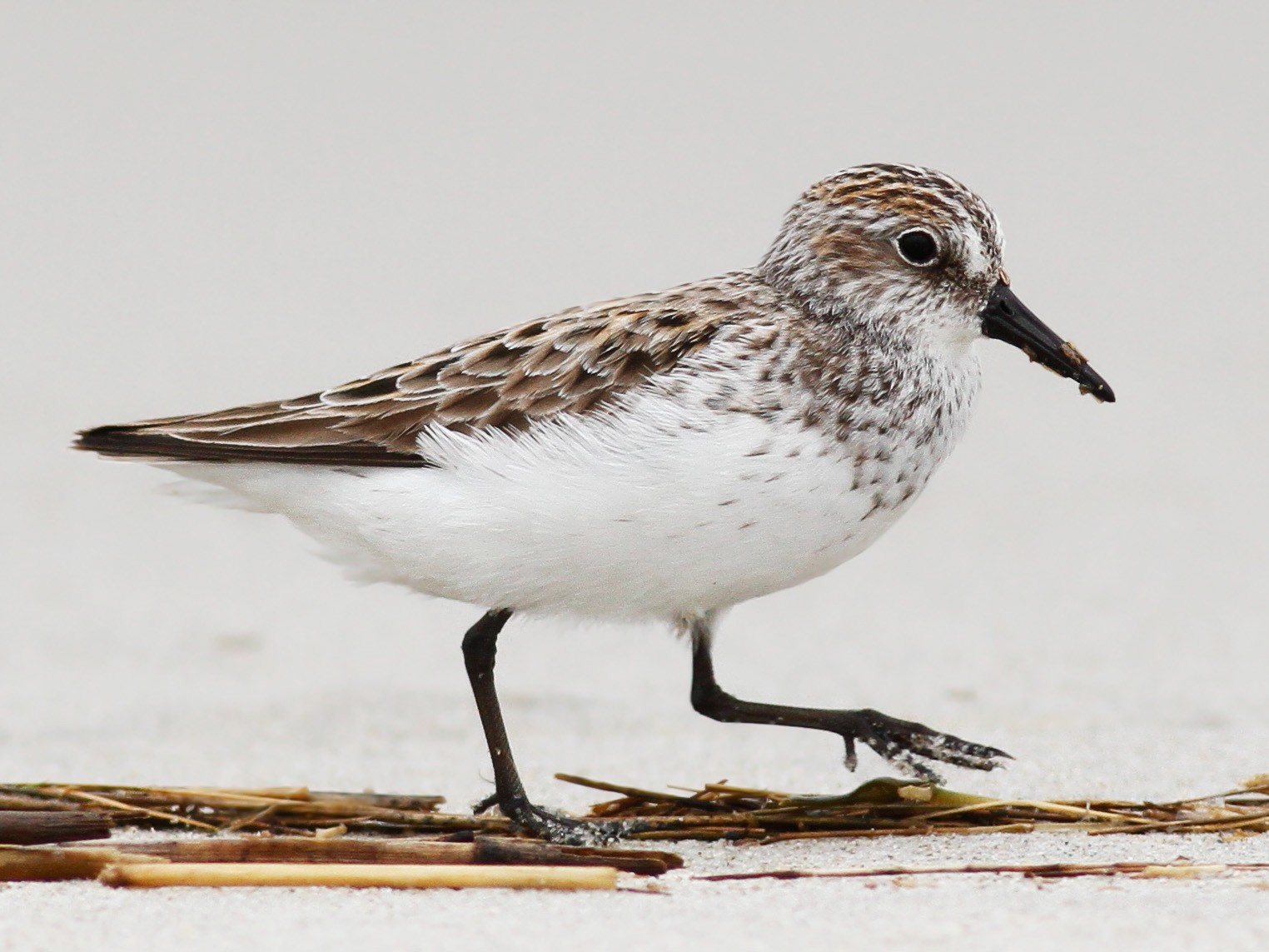 Semipalmated Sandpiper - Davey Walters