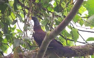 - Maroon Pigeon