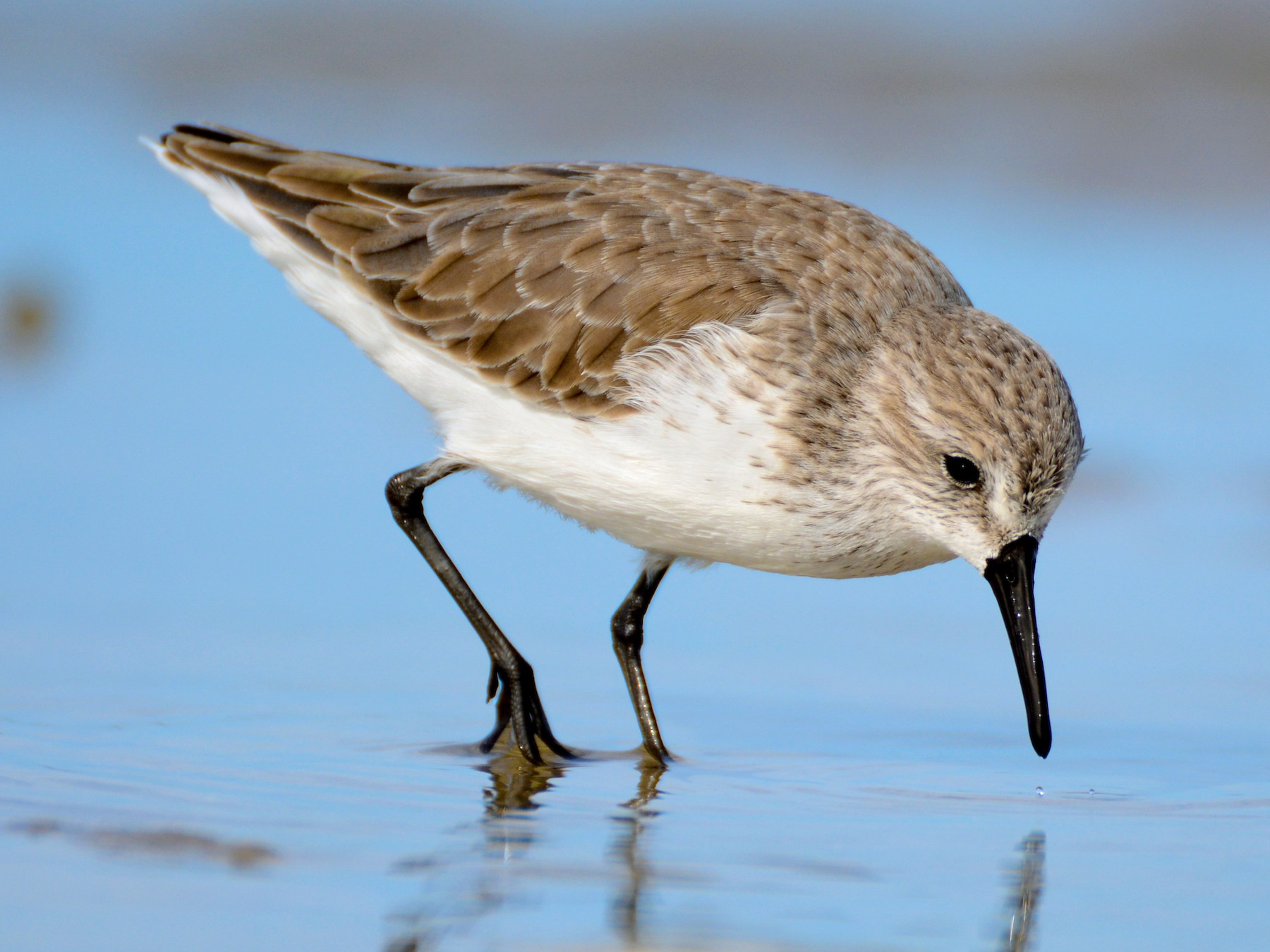 Western Sandpiper - Patrick Maurice