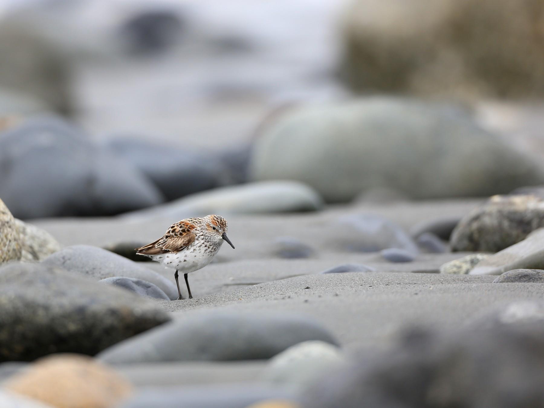 Western Sandpiper - Tim Lenz