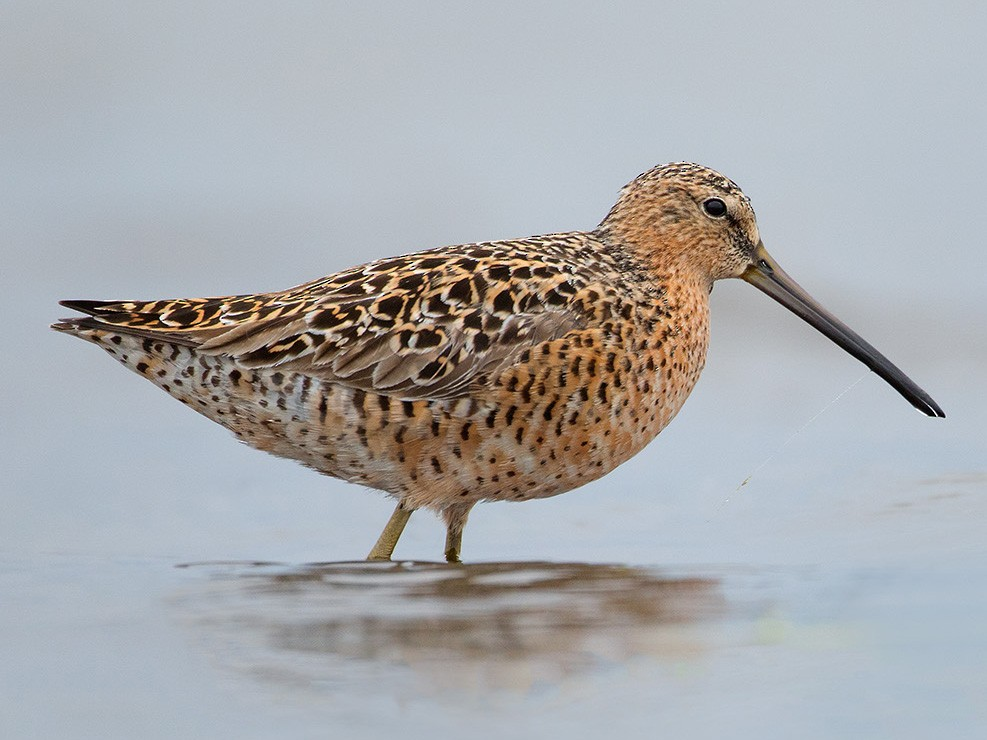 Short-billed Dowitcher - Joshua Haas