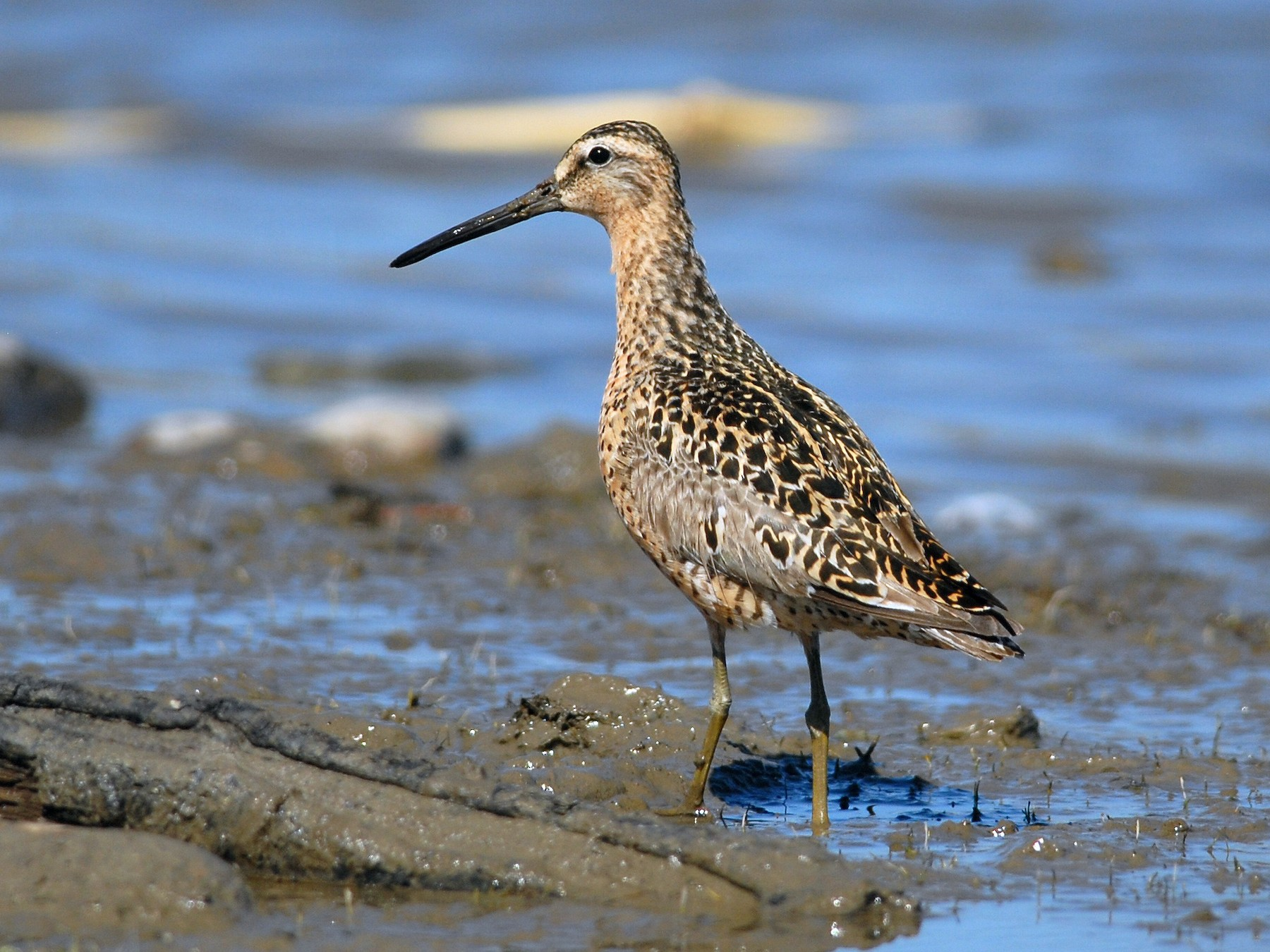 Short-billed Dowitcher - Cameron Eckert