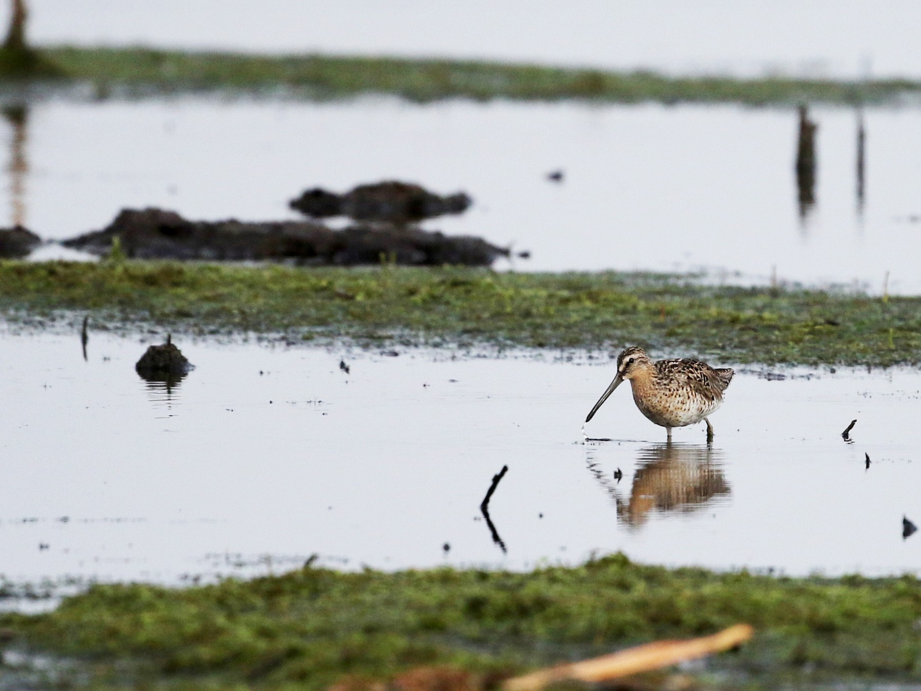 Short-billed Dowitcher - Jay McGowan
