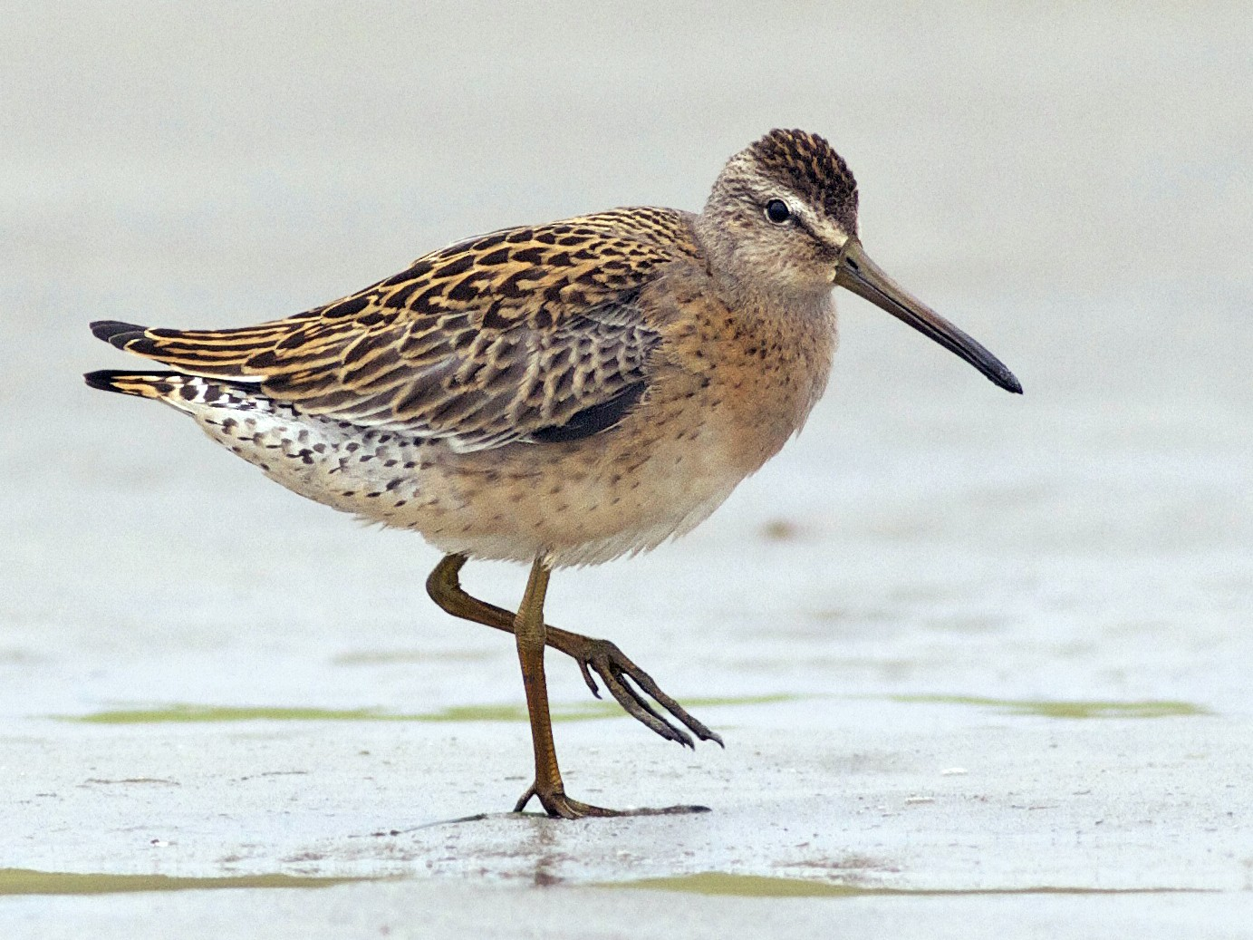 Short-billed Dowitcher - Evan Lipton