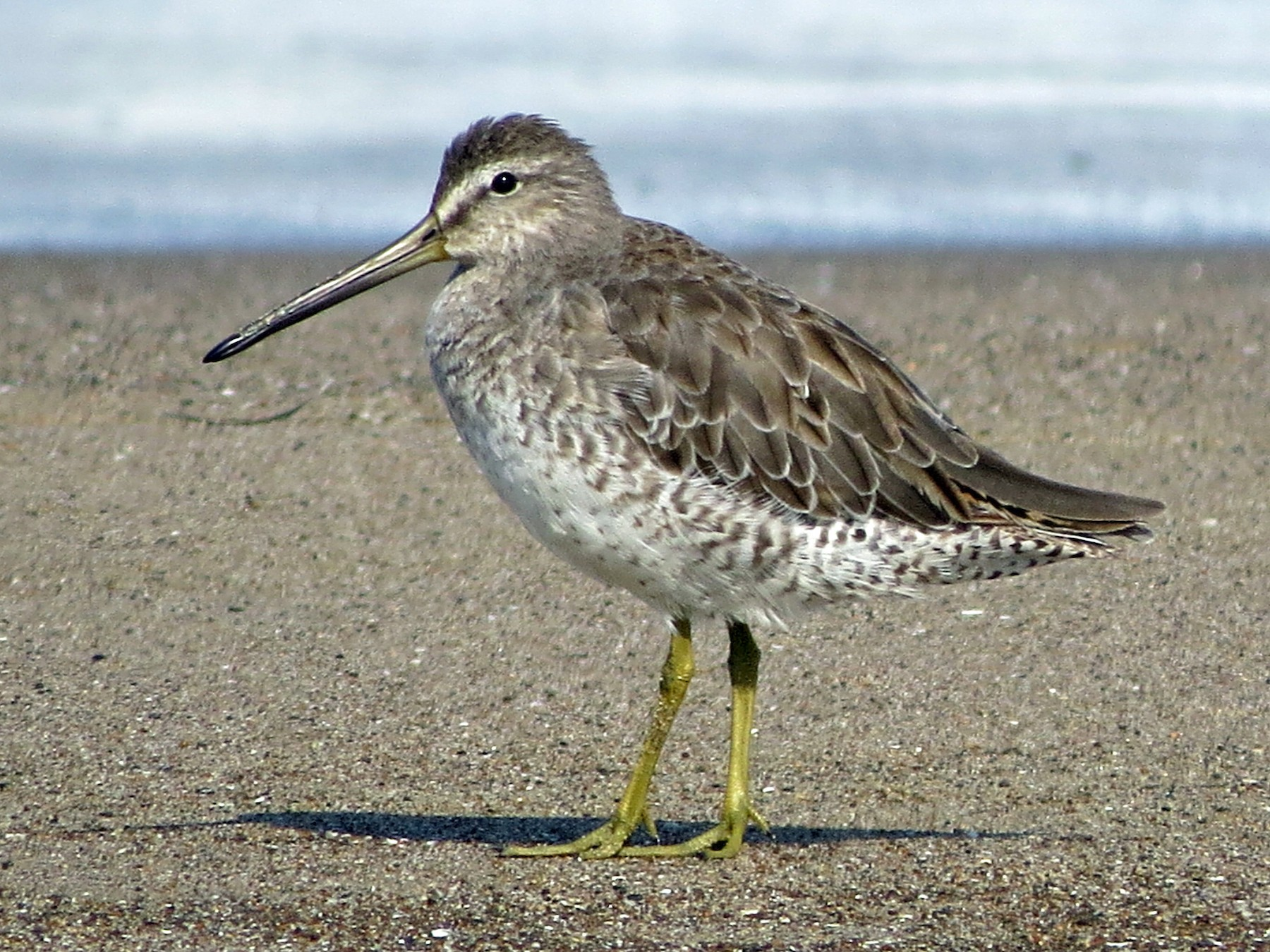 Short-billed Dowitcher - Tom Edell