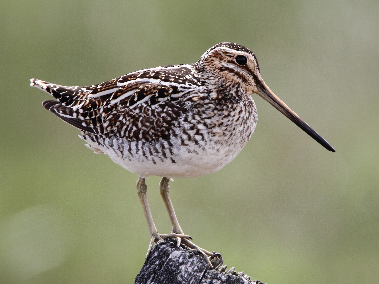 Wilson's Snipe - James Cummins