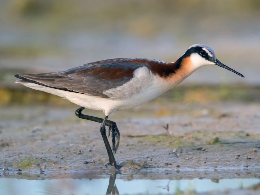 un oiseau à découvrir   - ajonc-  25 avril bravo Martine  900