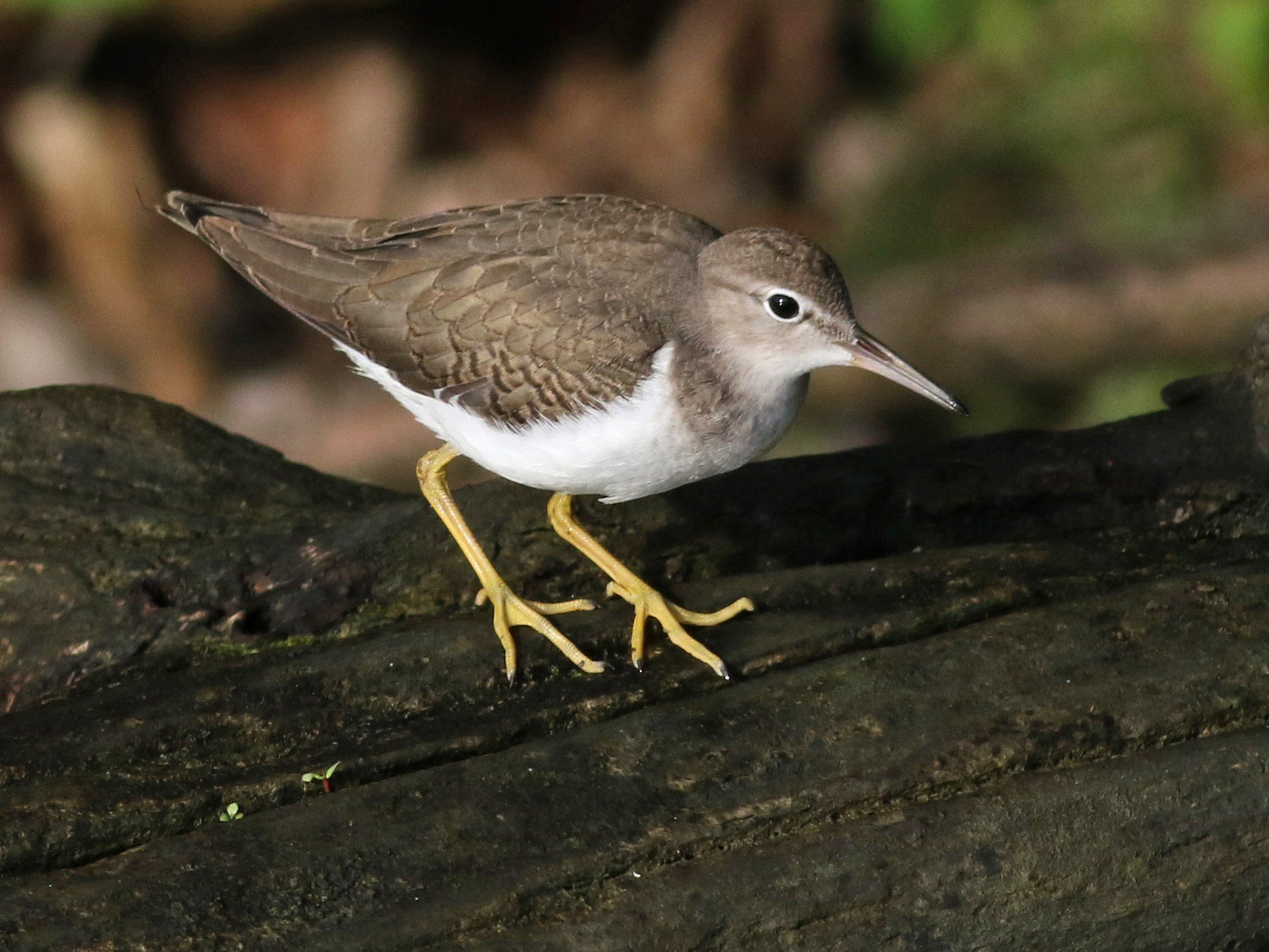 Spotted Sandpiper - Jay McGowan