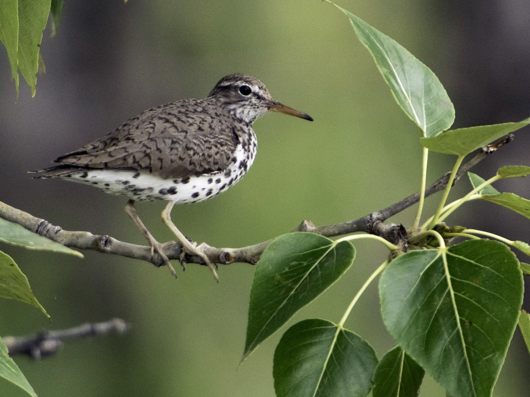 Spotted Sandpiper - Robb Bell