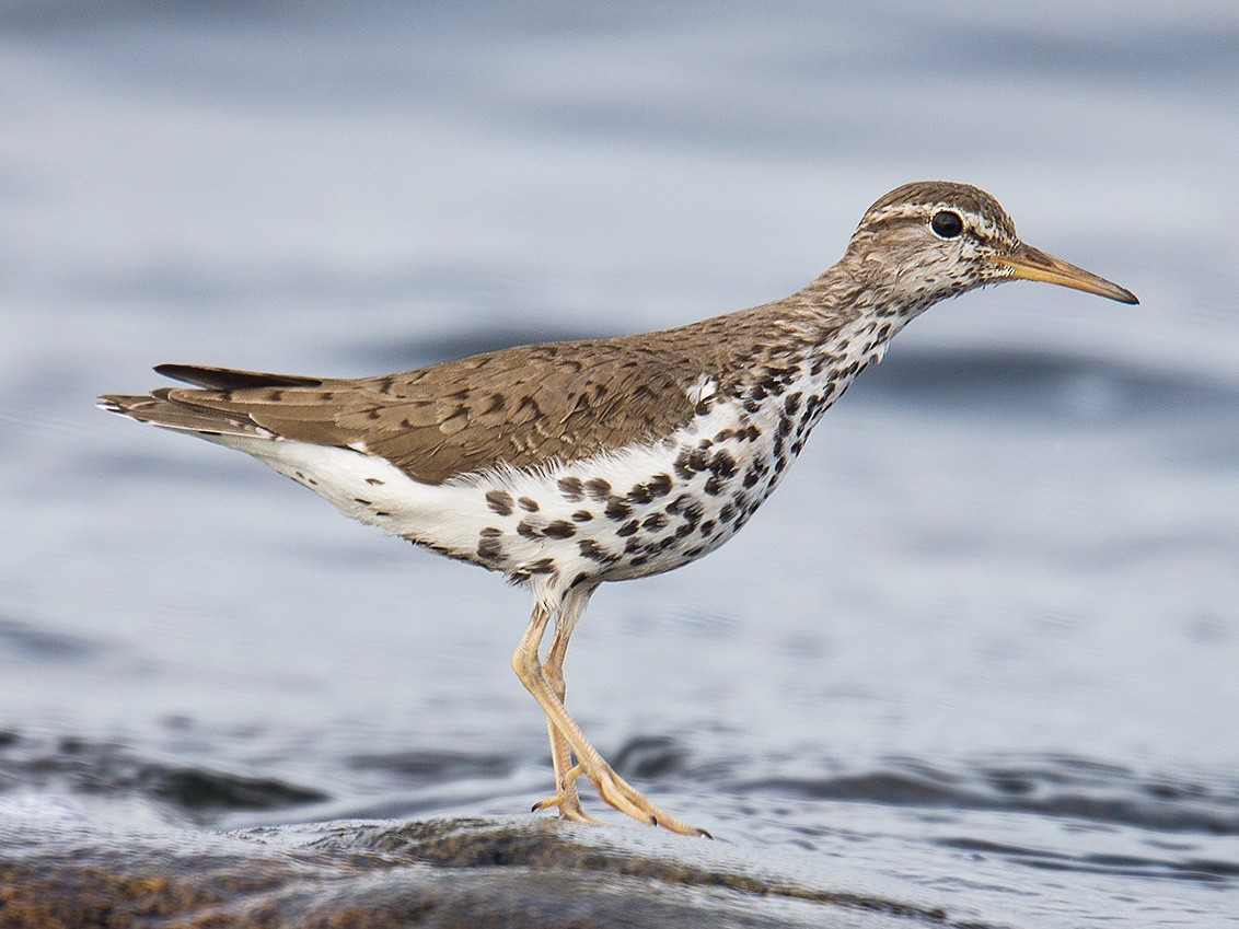 Spotted Sandpiper - David Turgeon