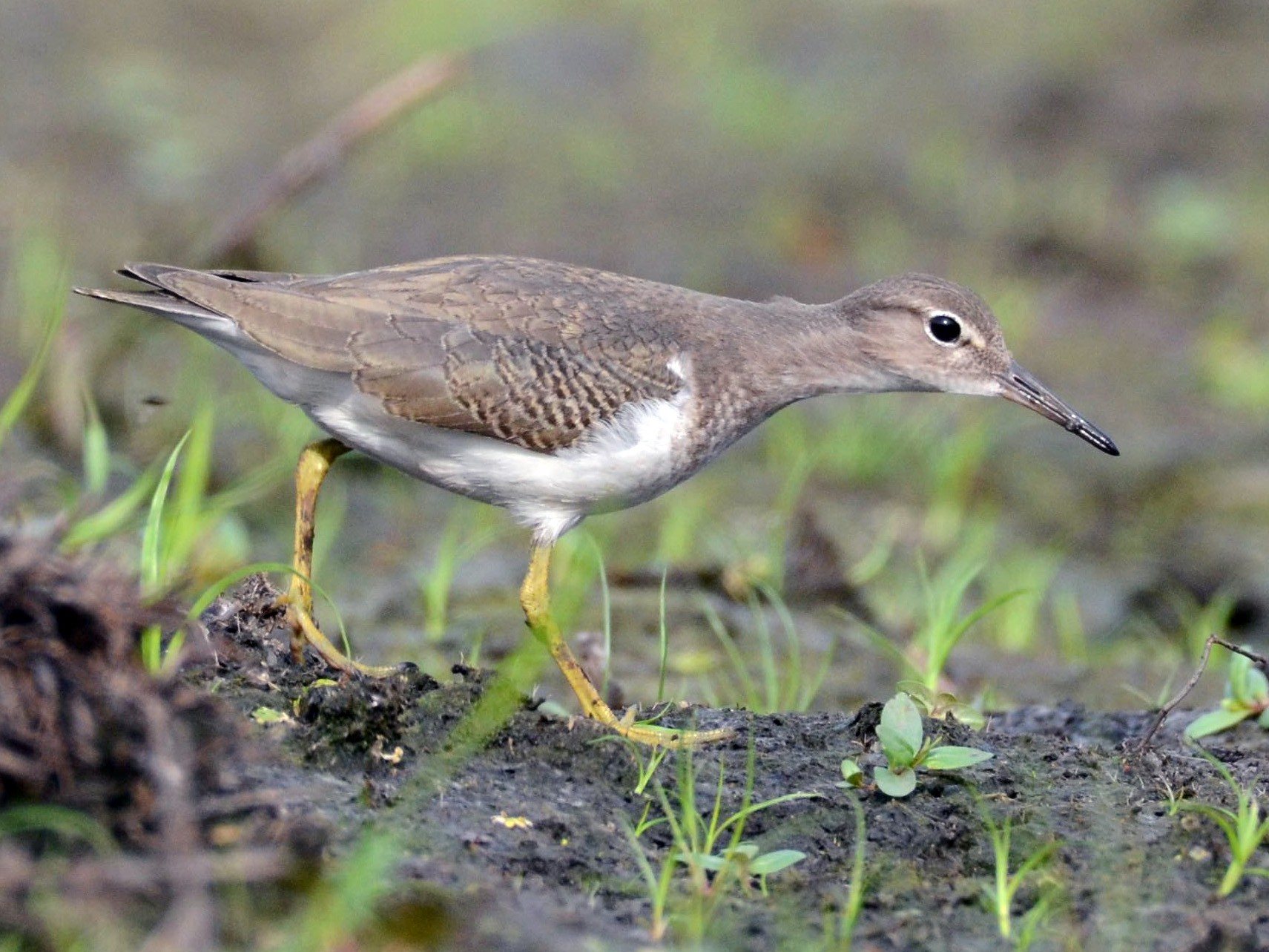 Spotted Sandpiper - Timothy Spahr
